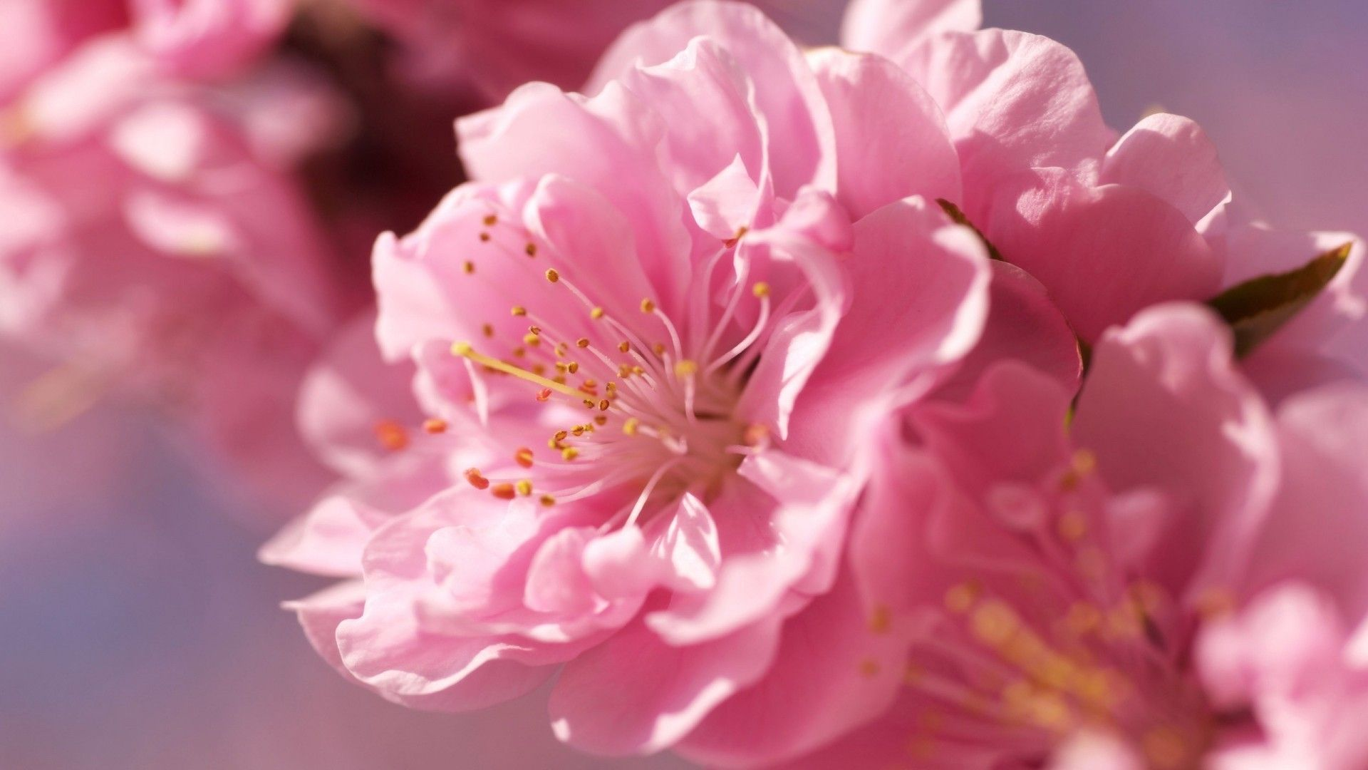 indian flowers images and wallpapers Download