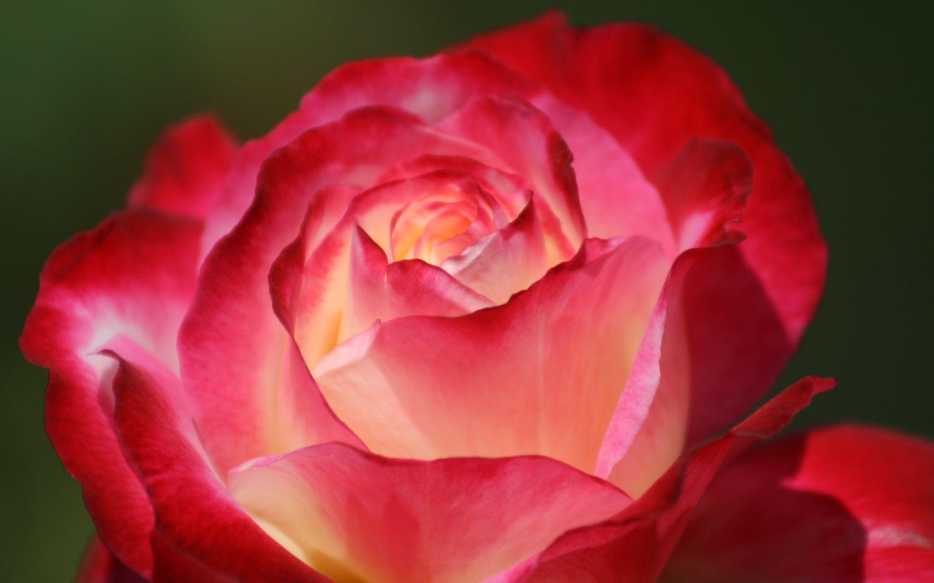 Red Rose Close Up beautiful wallpaper