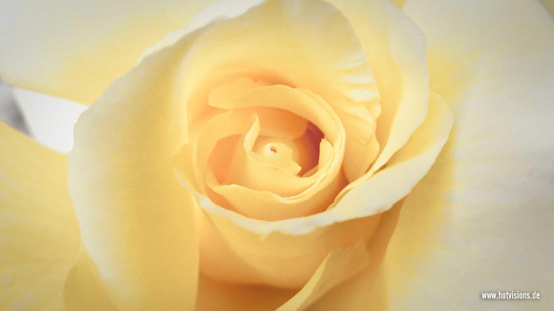 yellow rose single close up