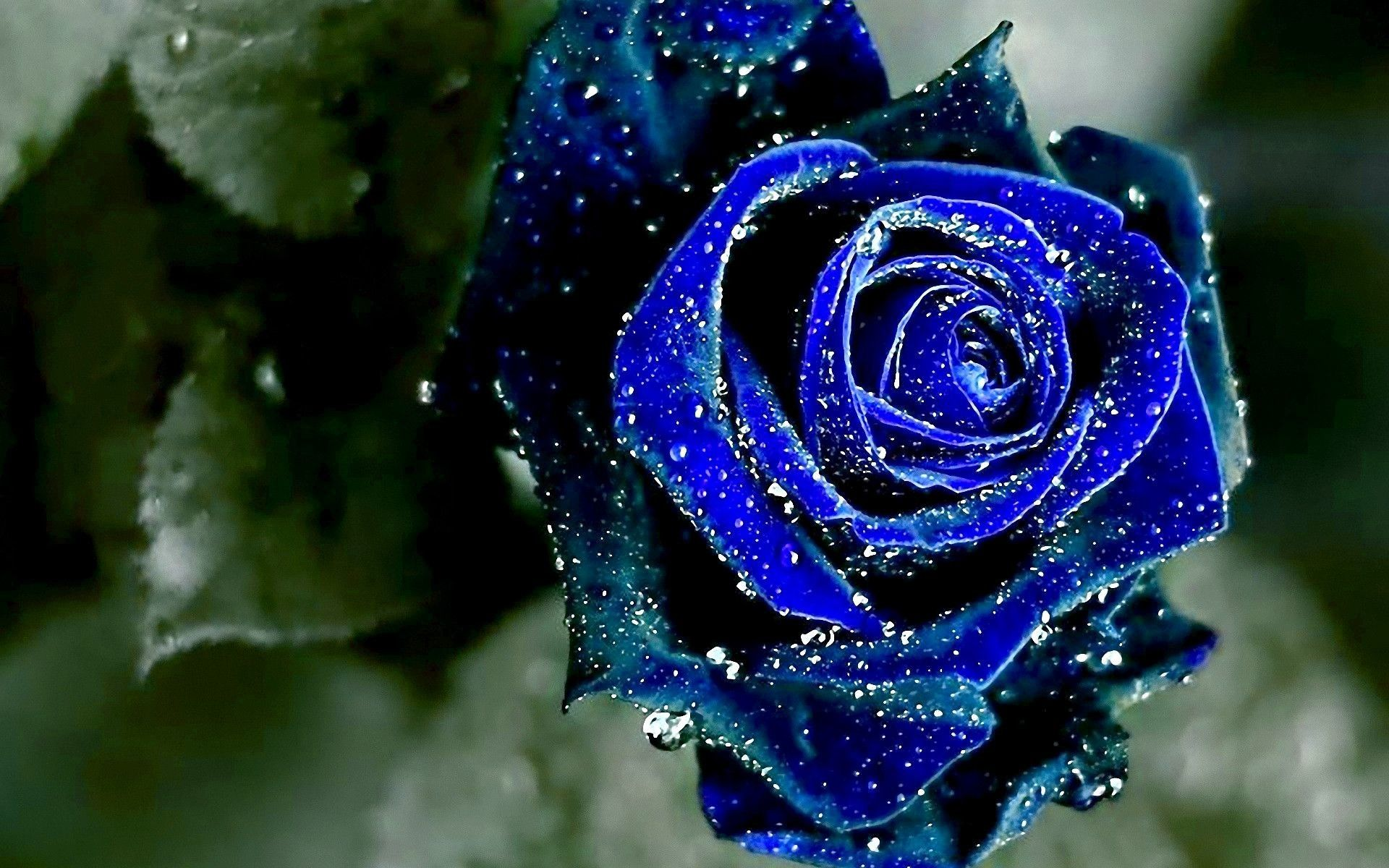 blue cosmic rose цфддзфзук