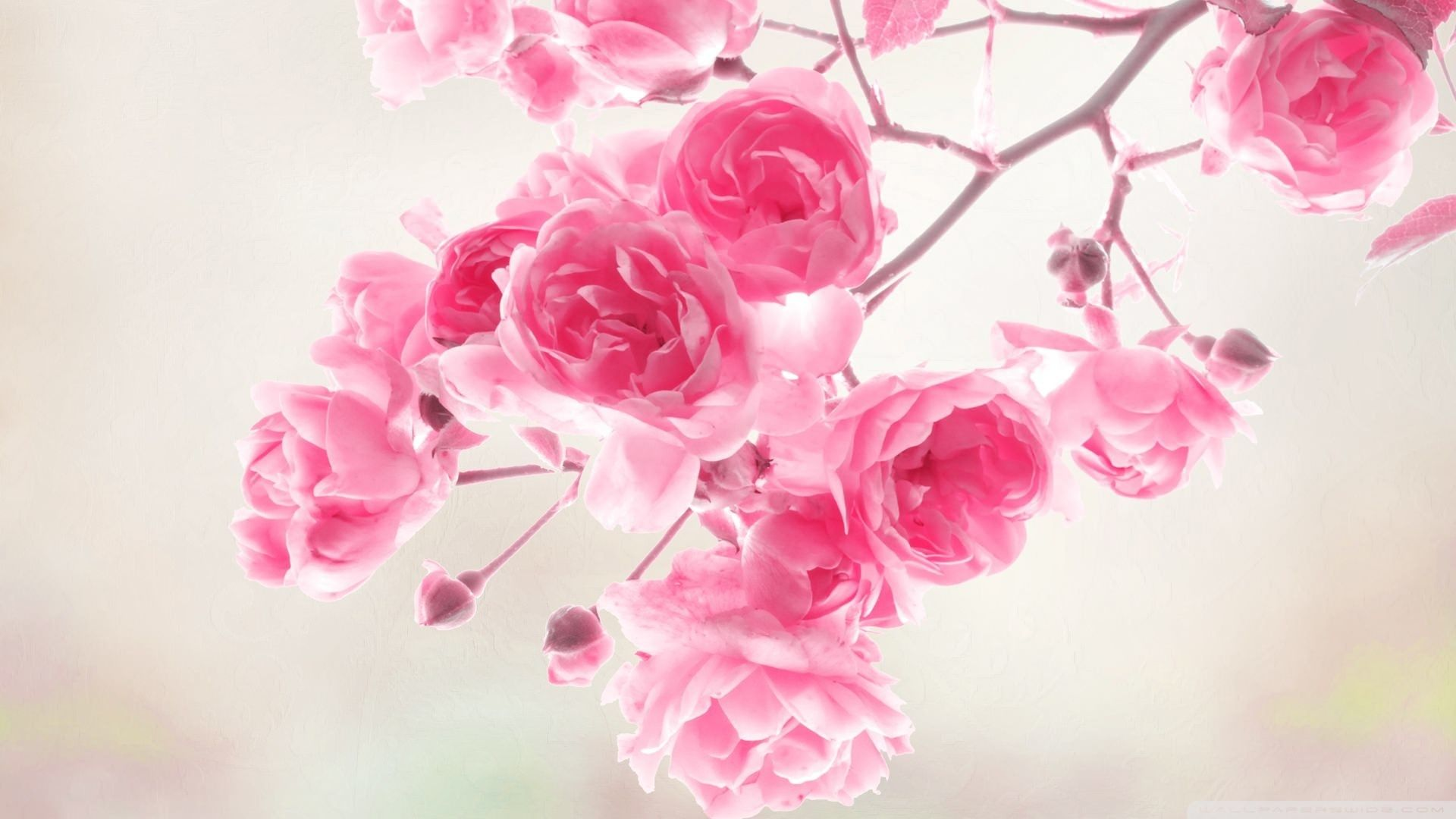 branch of pink roses цфддзфзук