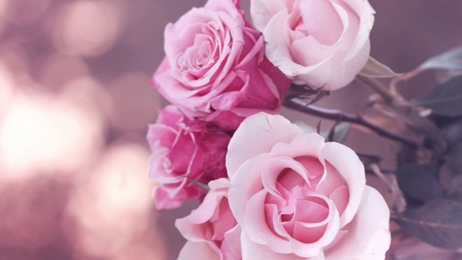 branch of beautiful pink roses