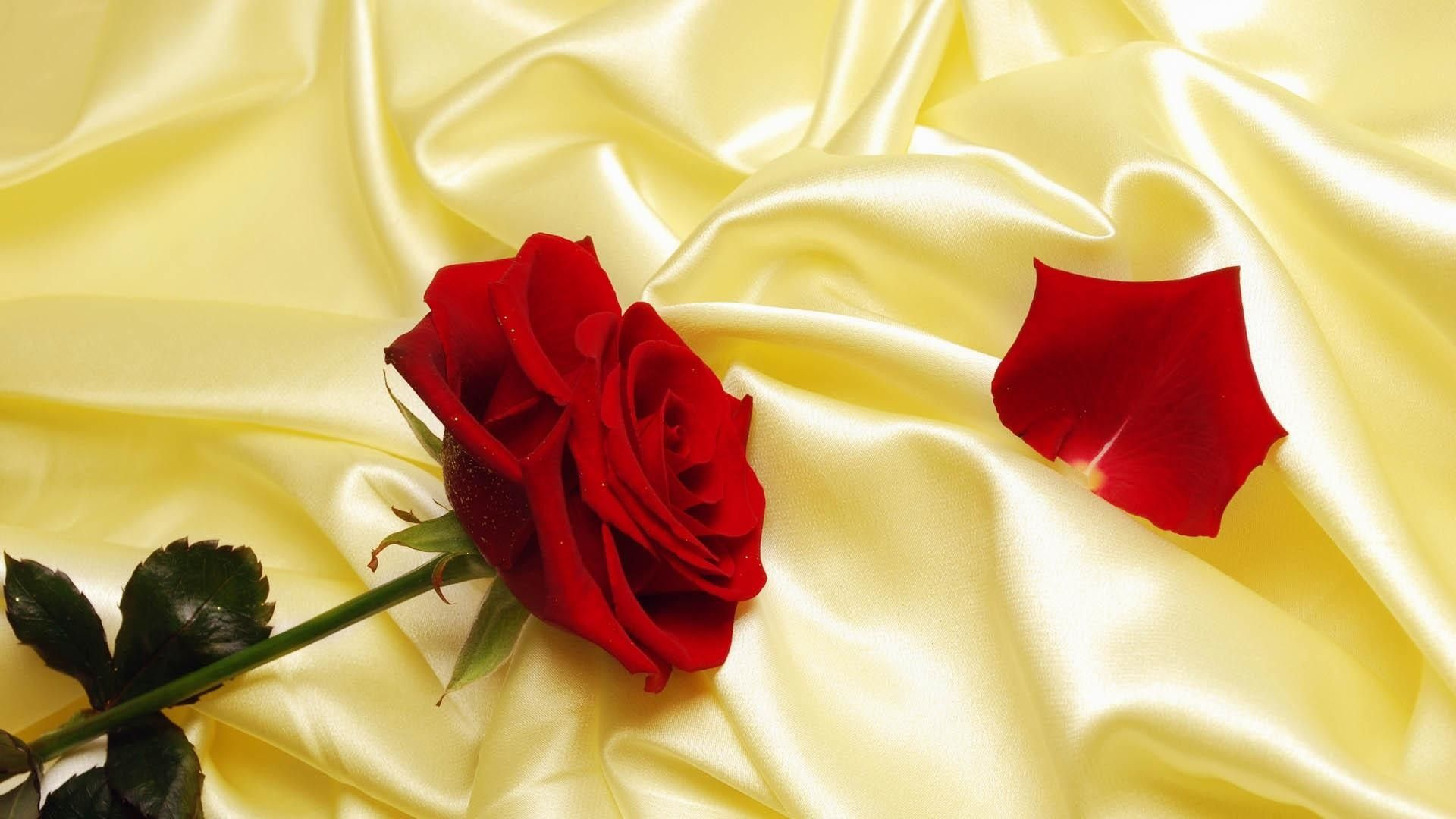 one red rose with a torn petal on a yellow fabric