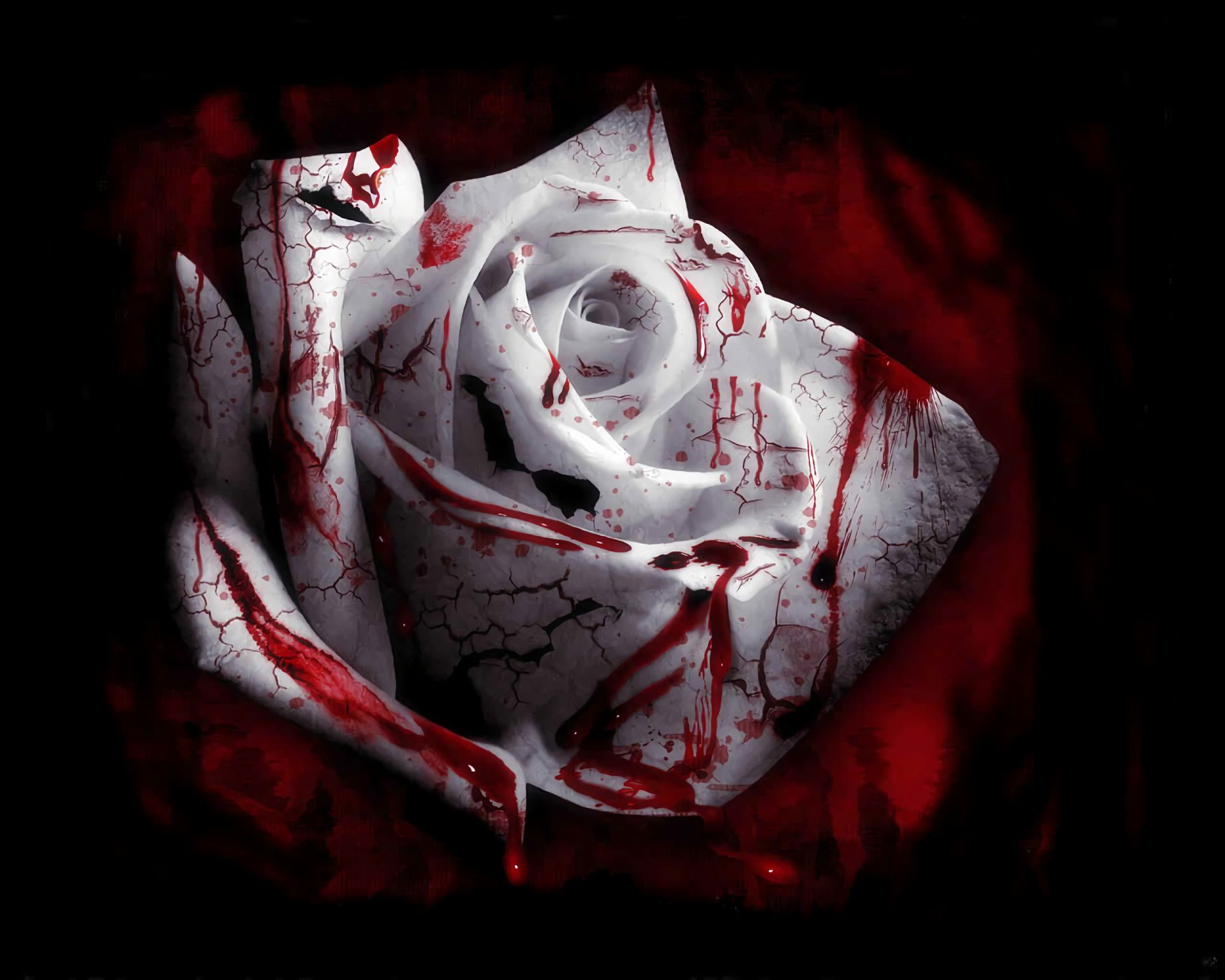 white rose with bloody spots on a dark background