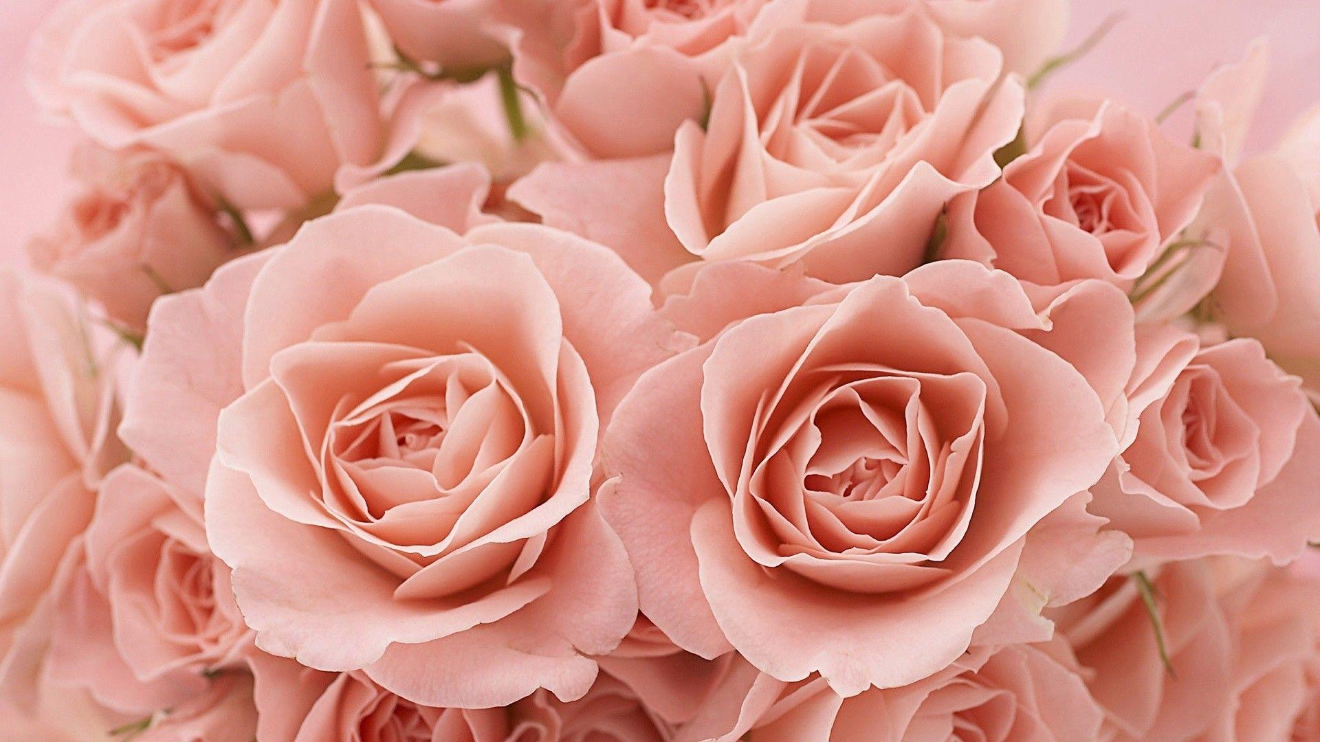 roses hd wallpaper