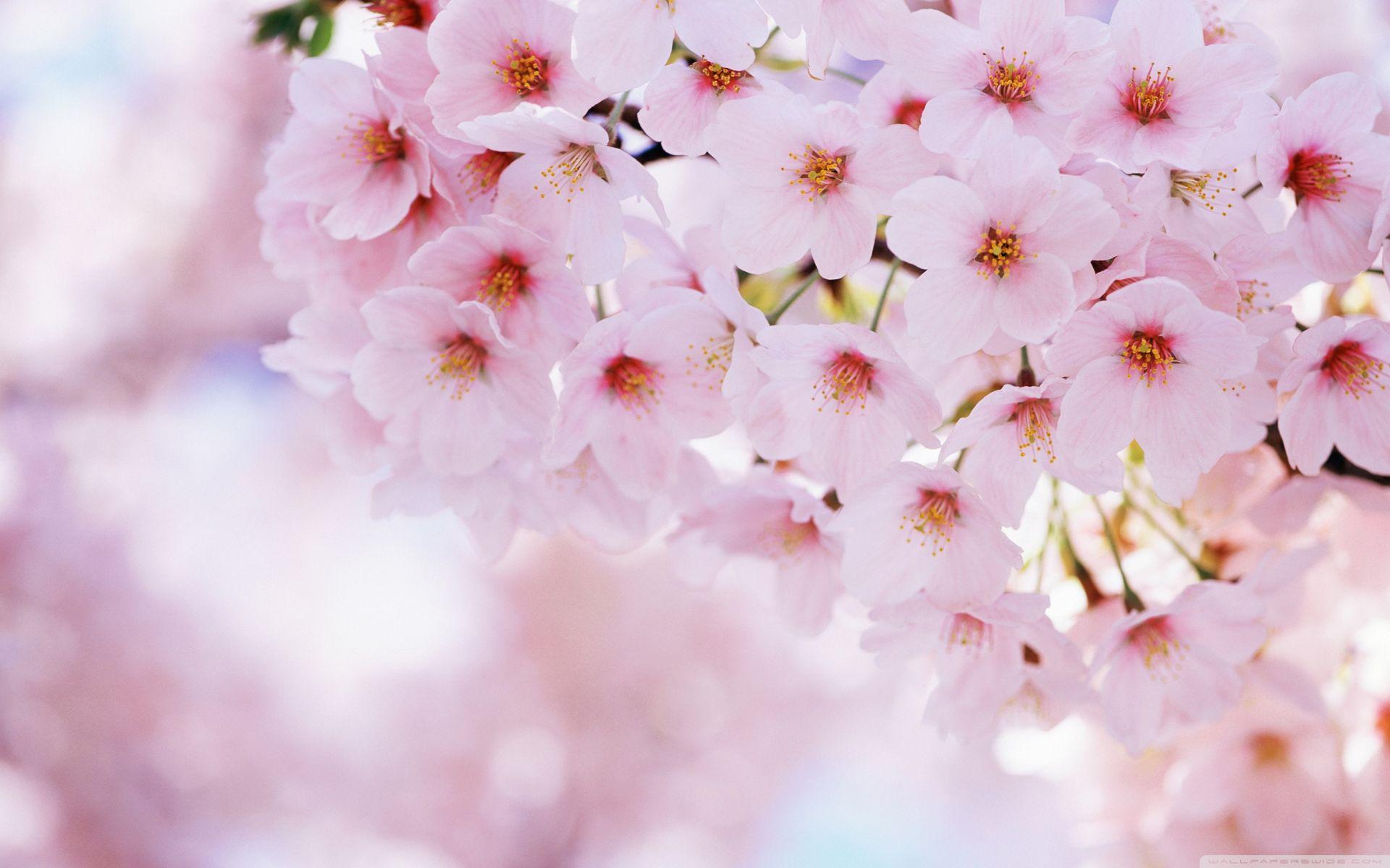 Download Cherry Blossom Wallpaper