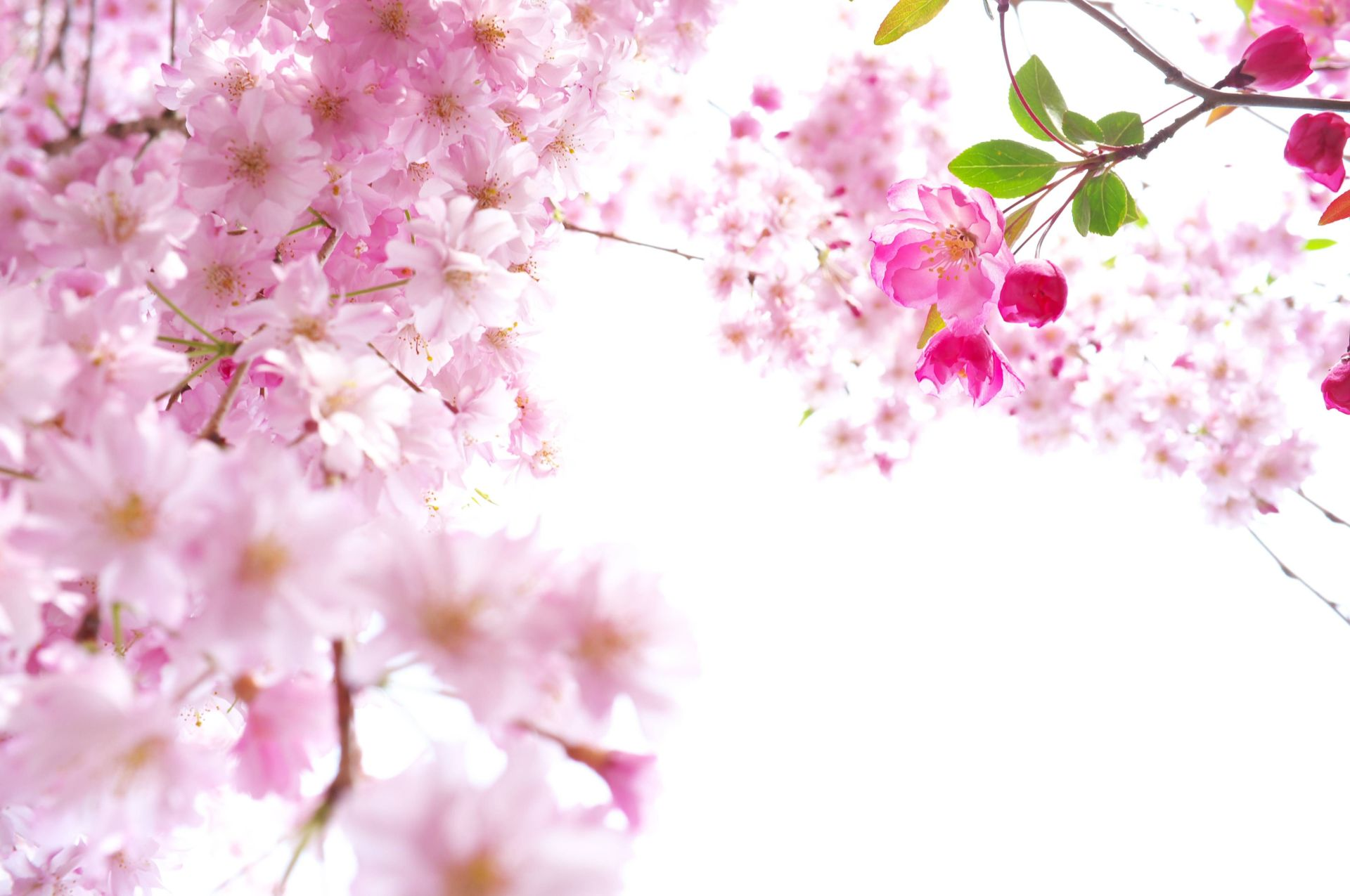 Cherry Blossom Wallpapers and Pictures