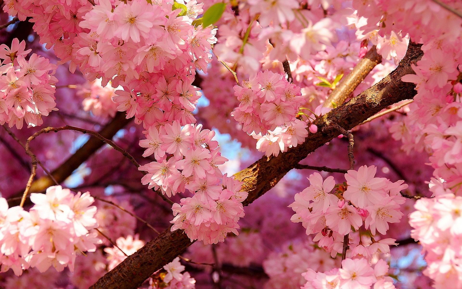 HD wallpaper search sakura