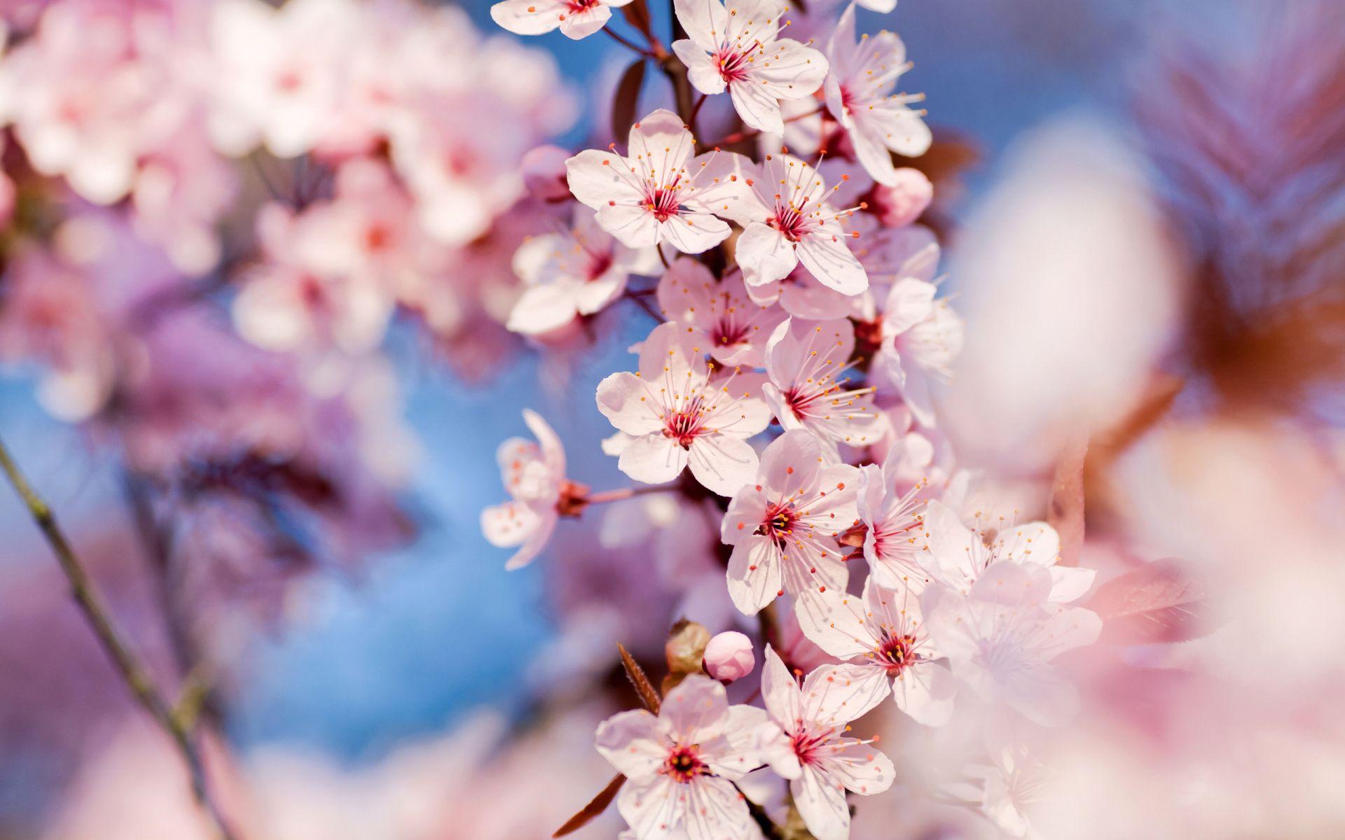 Cherry Blossom Tree wallpaper