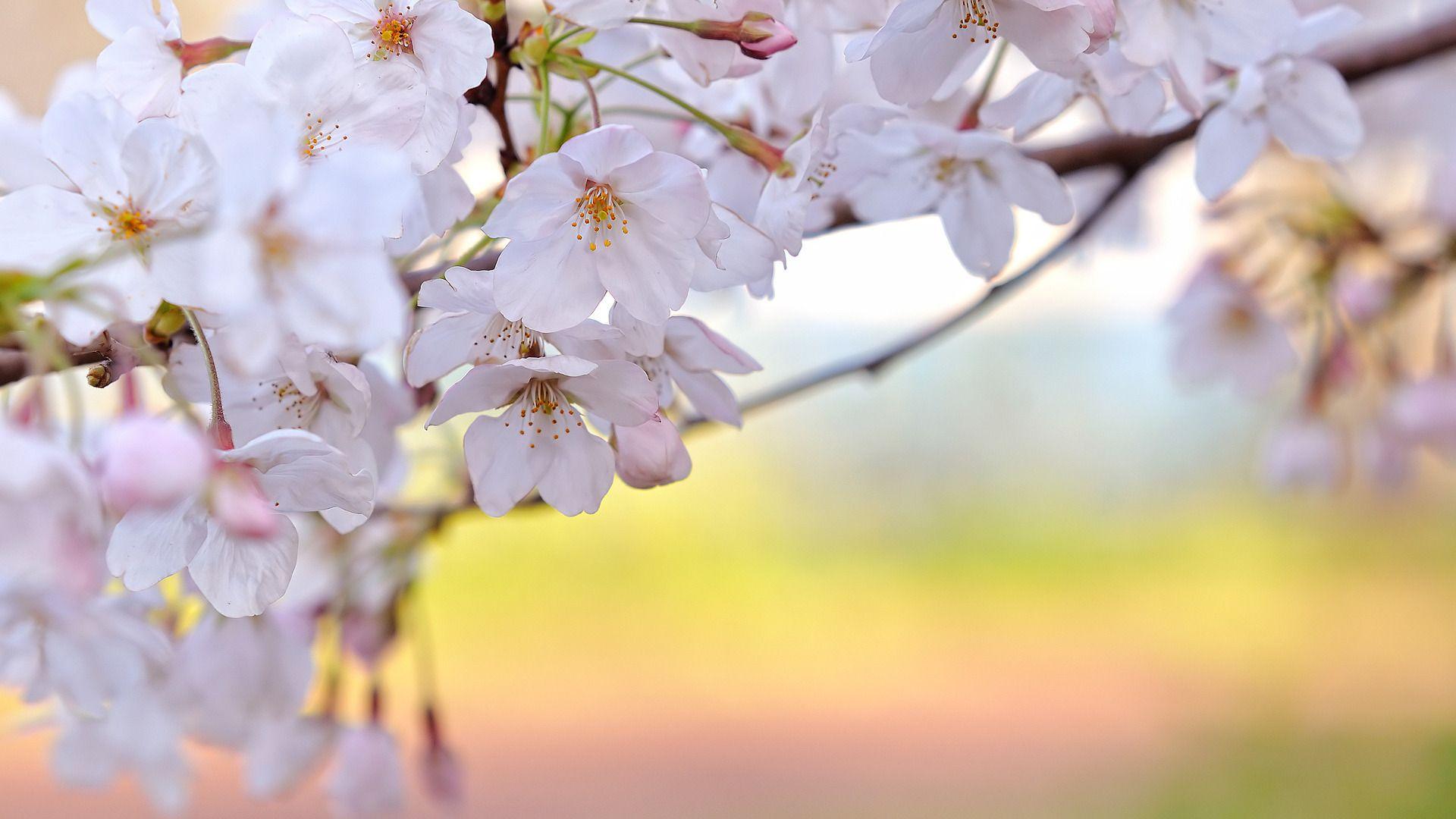 sakura flower HD wallpaper