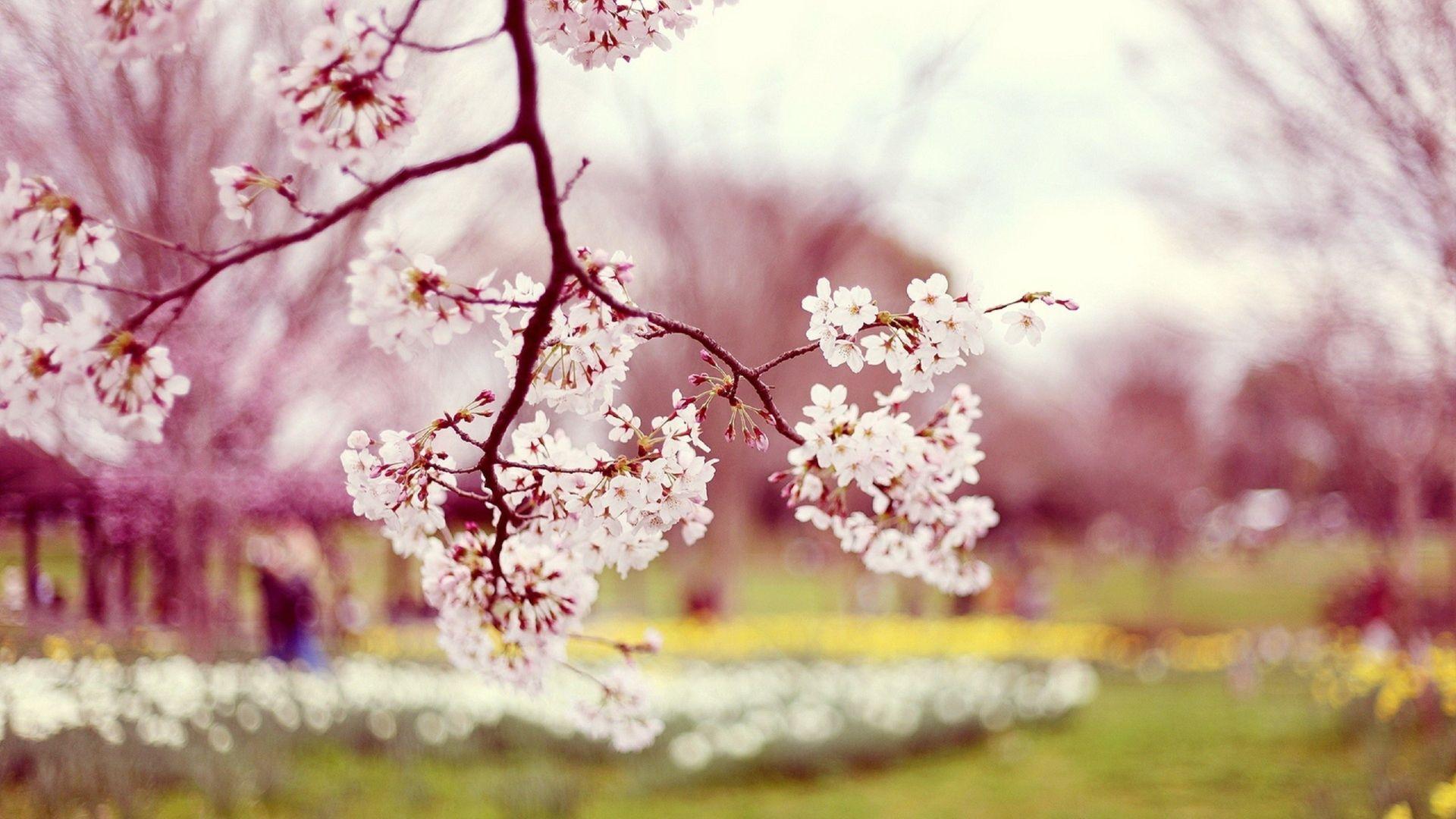 Sakura flower wallpaper images all free download