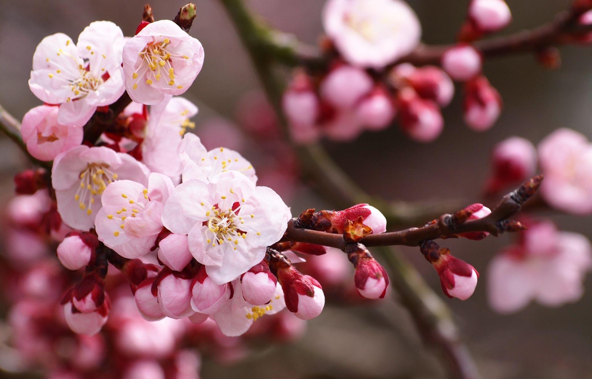 Sakura flower background Japanese images