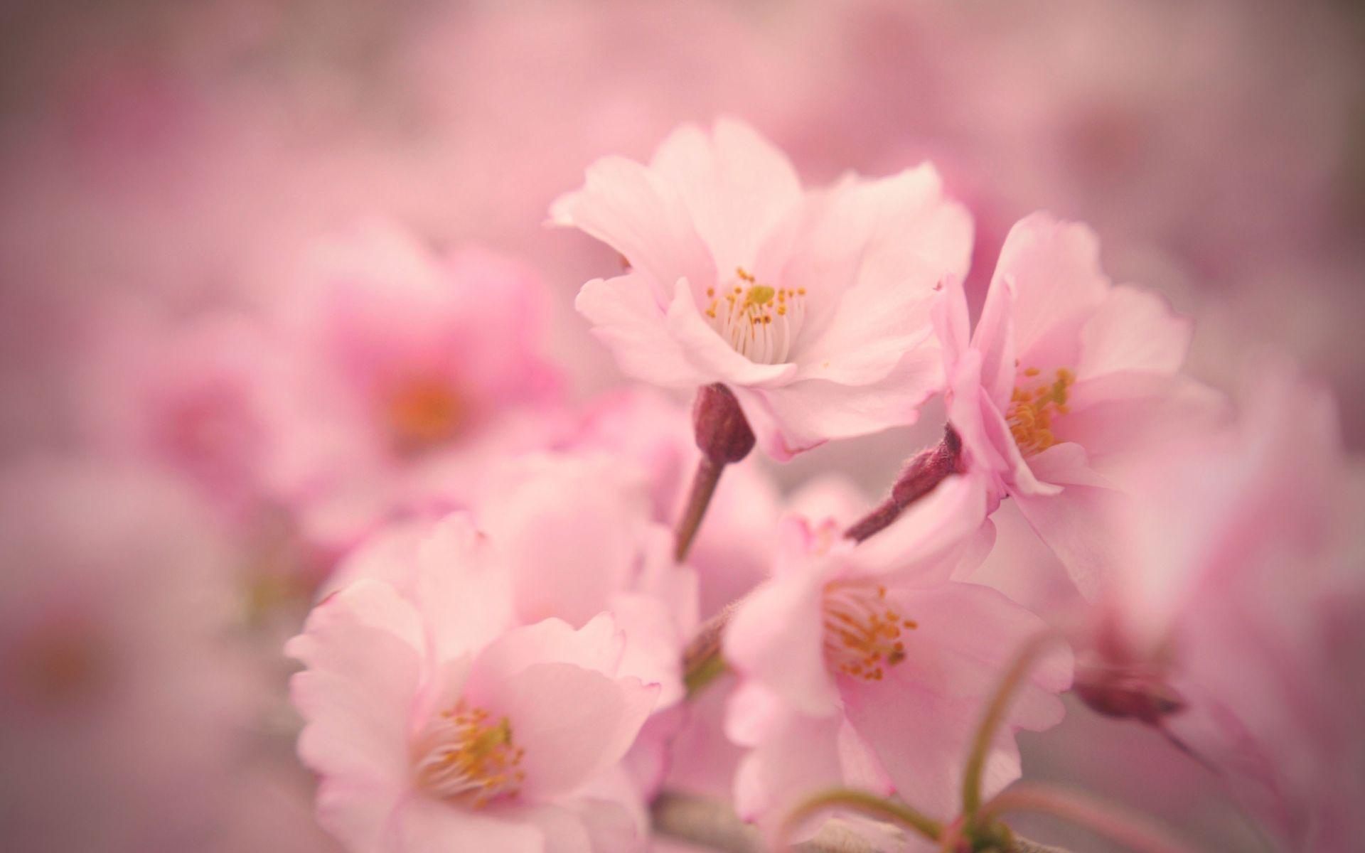 Free Wallpaper: New Sakura Blossom