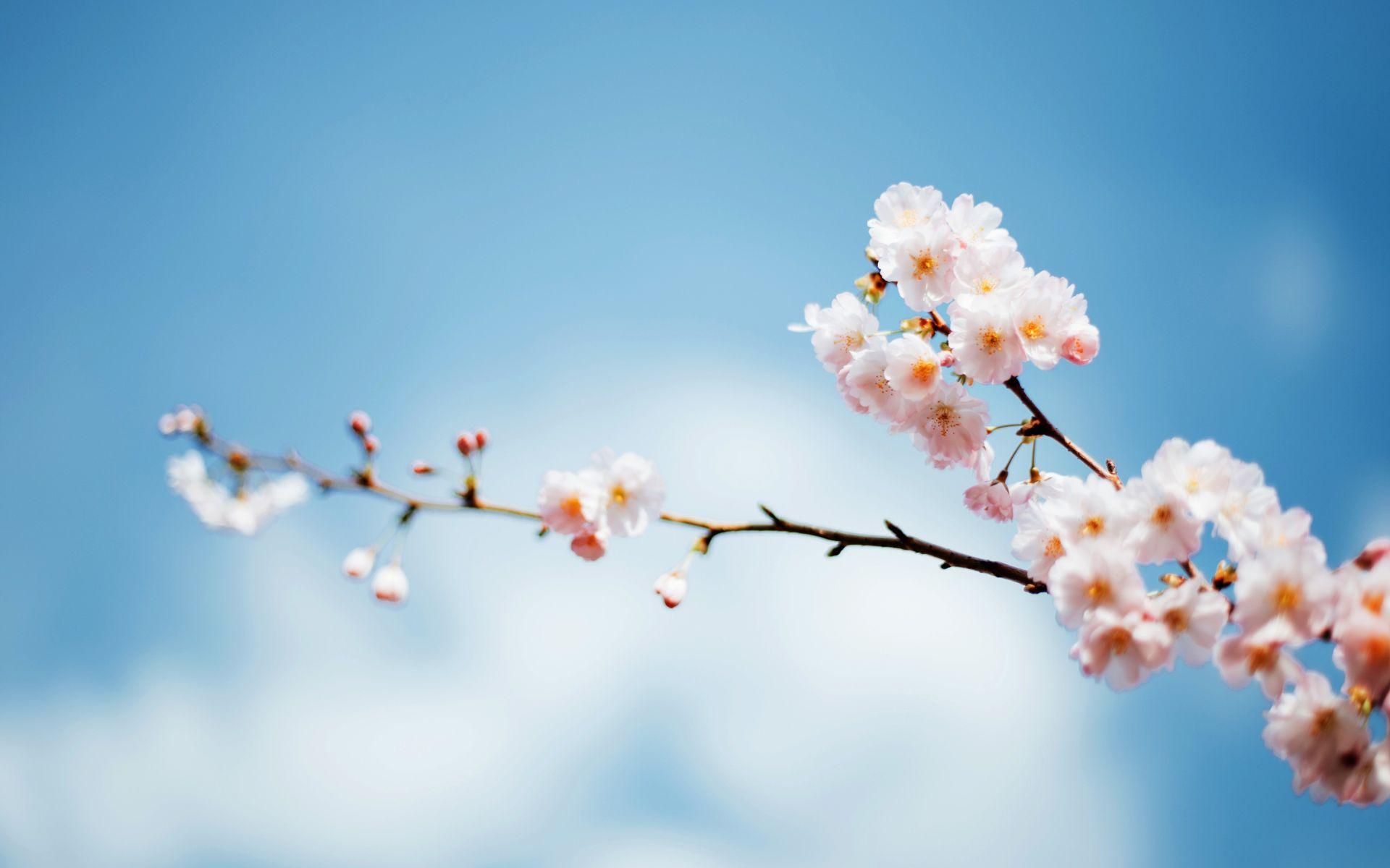 Japanese Sakura wallpapers
