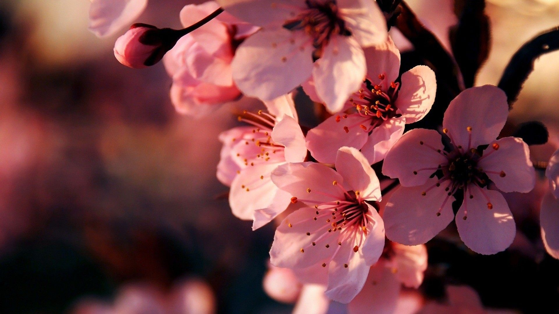 cherry blossom wallpaper 1920×1080