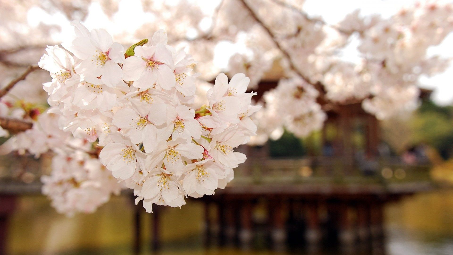 Flowers Cherry Blossom Wallpapers Images Desktop