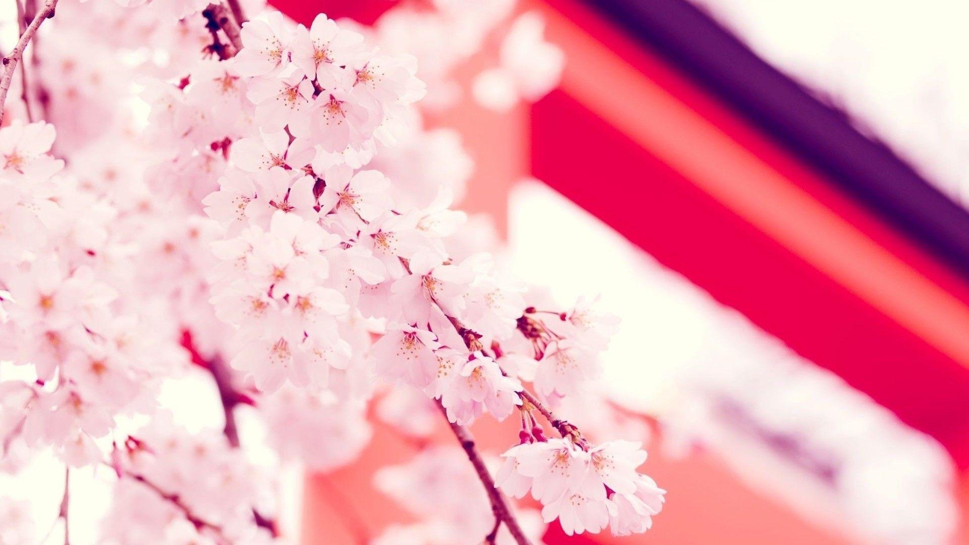 Free HD photos cherry blossom