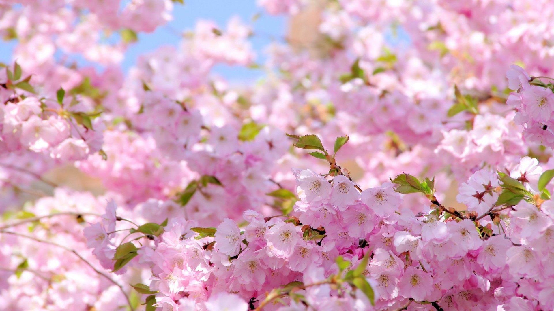 Wallpapers natural blossom image HD