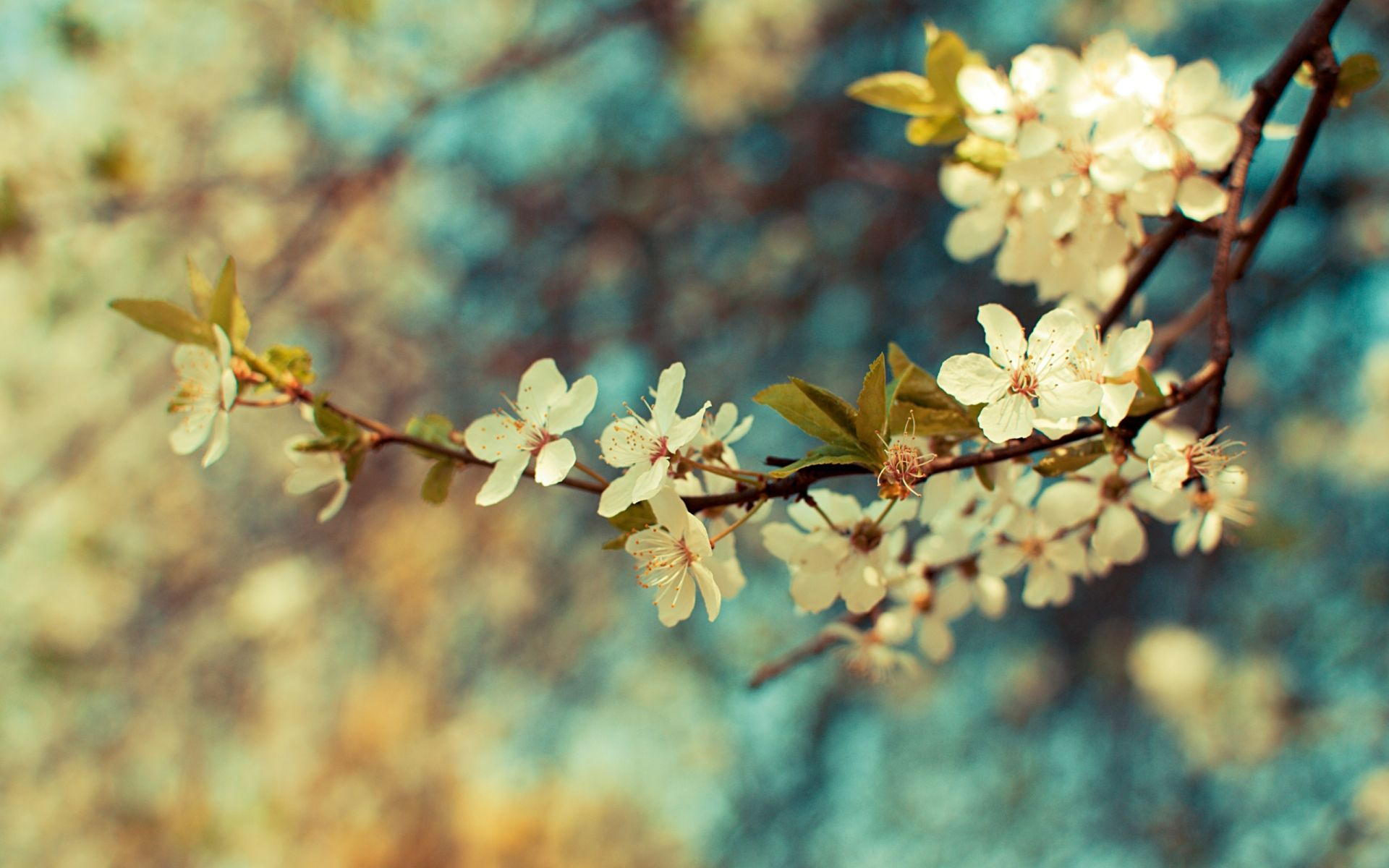 sakura spring flower wallpapers of cherry blossom
