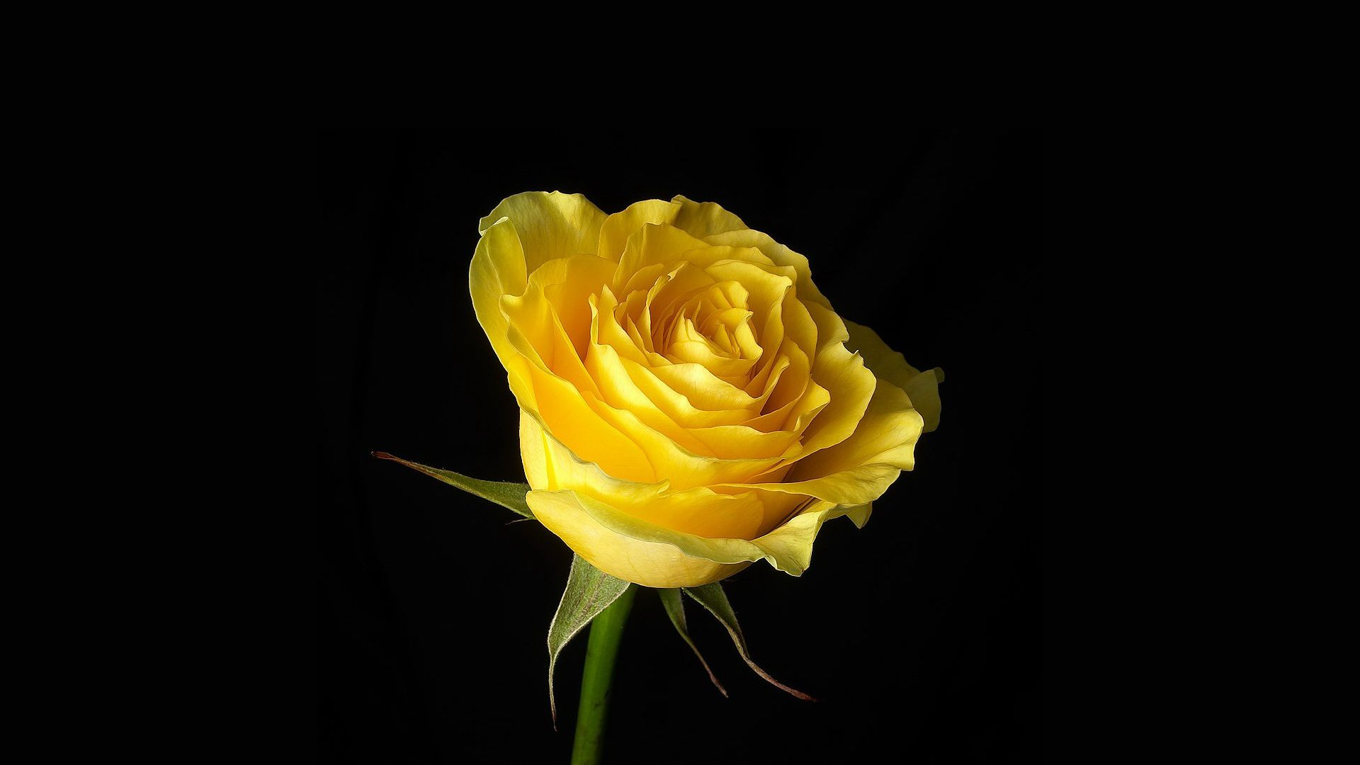 20 Yellow Rose Wallpapers Wallpaperboat
