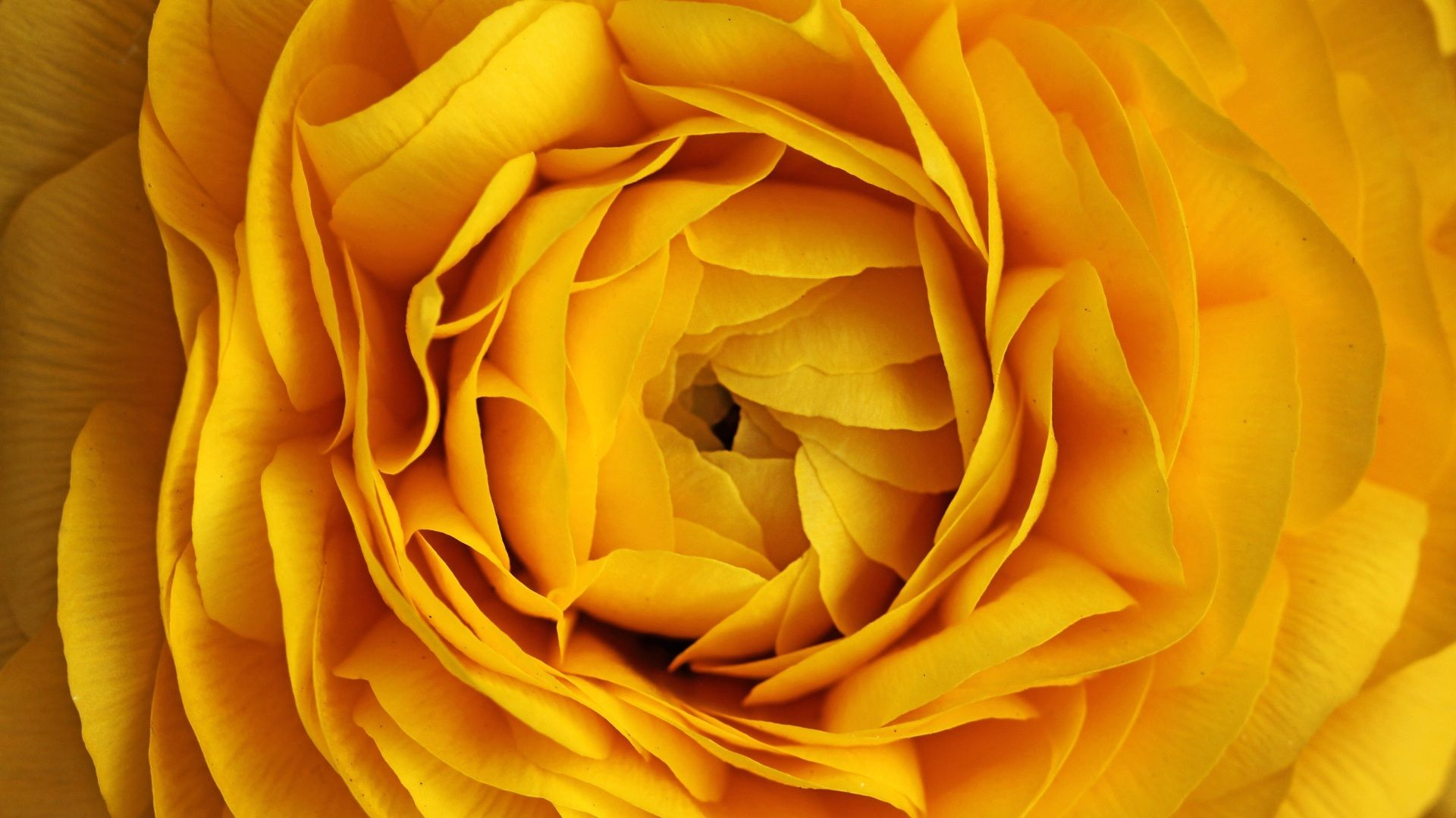 Yellow rose backgrounds free download