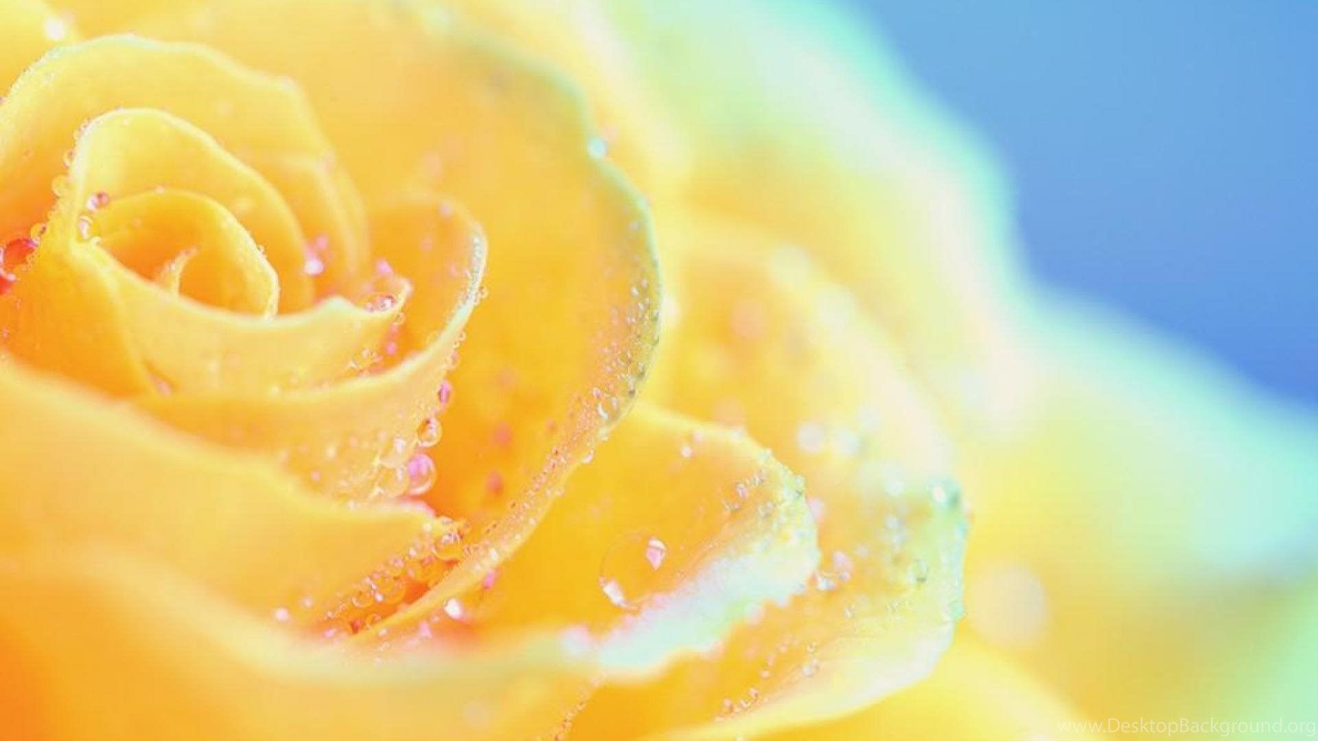 HD backgrounds Yellow Roses
