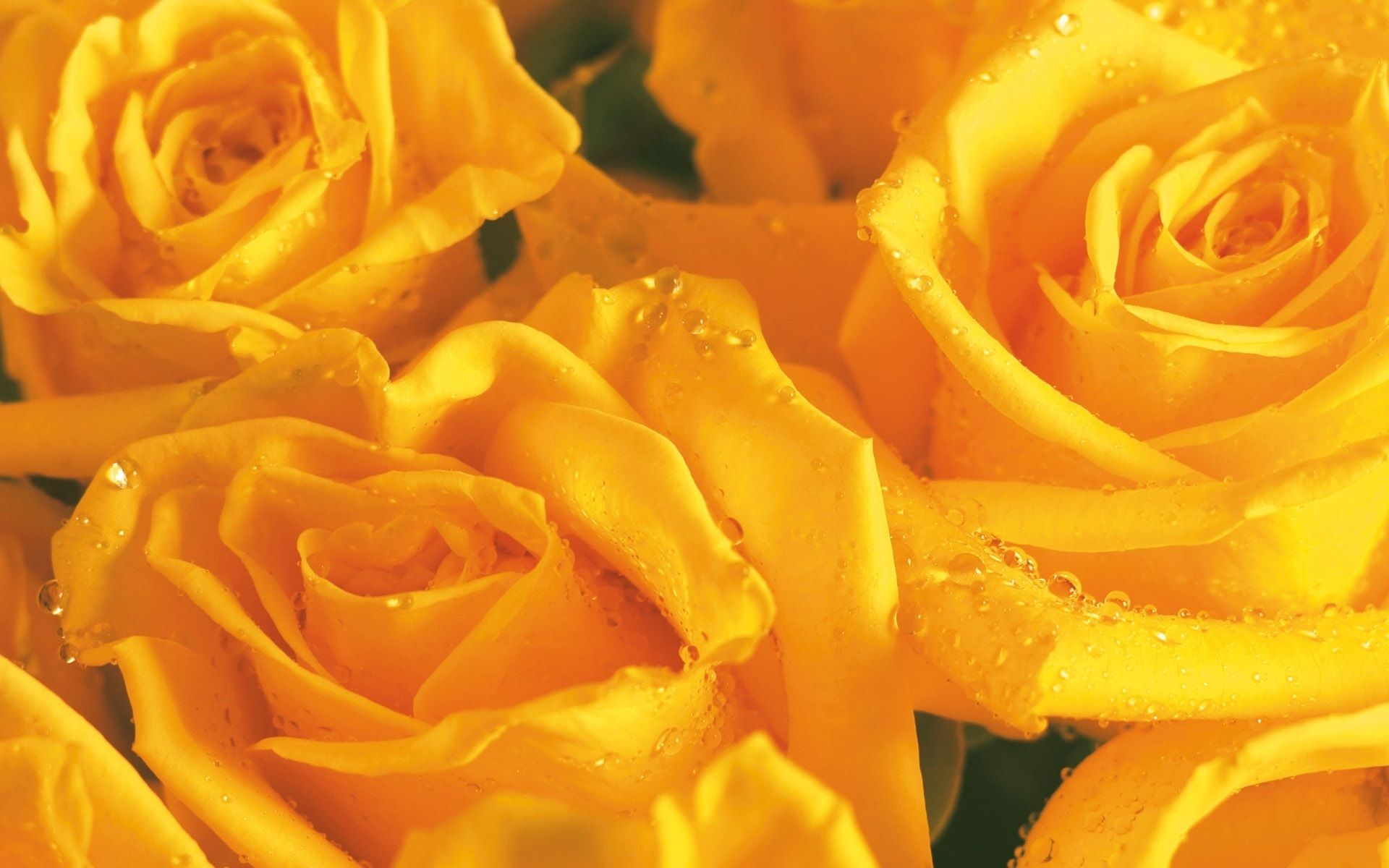 HD Wallpapers 1080p Yellow Rose backgrounds