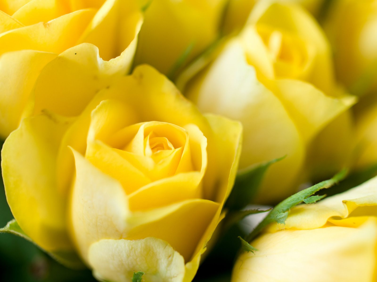 Yellow rose backgrounds wallpapers HD