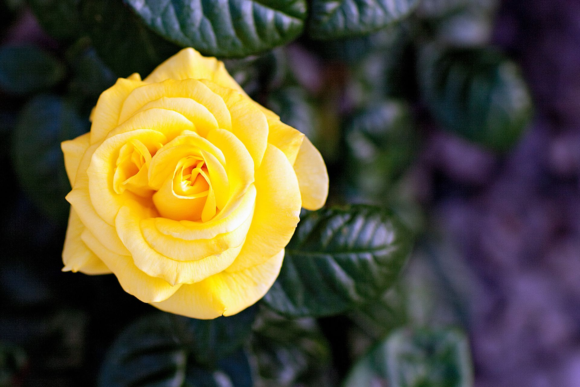 Yellow Rose HD Wallpapers backgrounds download free