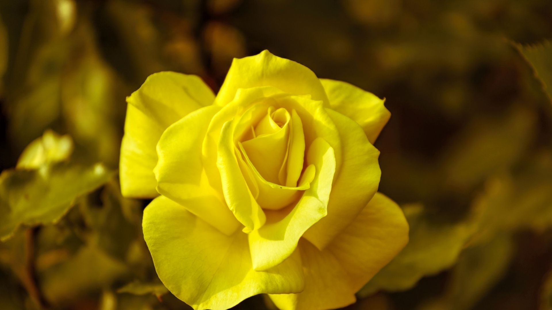 Rose Wallpaper, Yellow Background