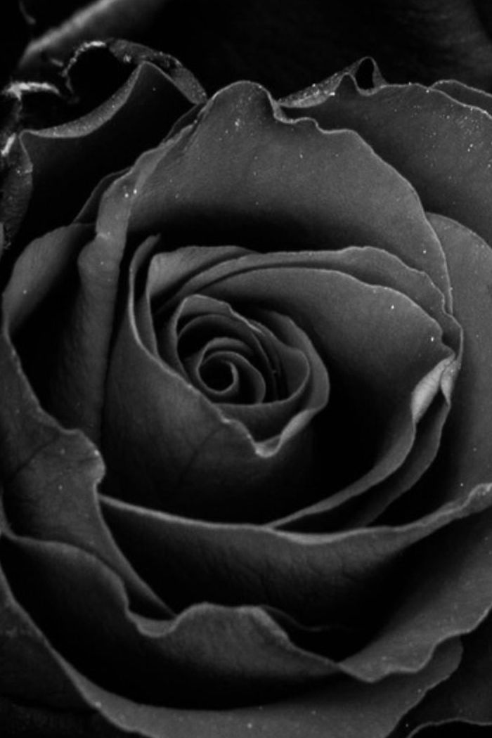 black rose hd wallpaper for mobile