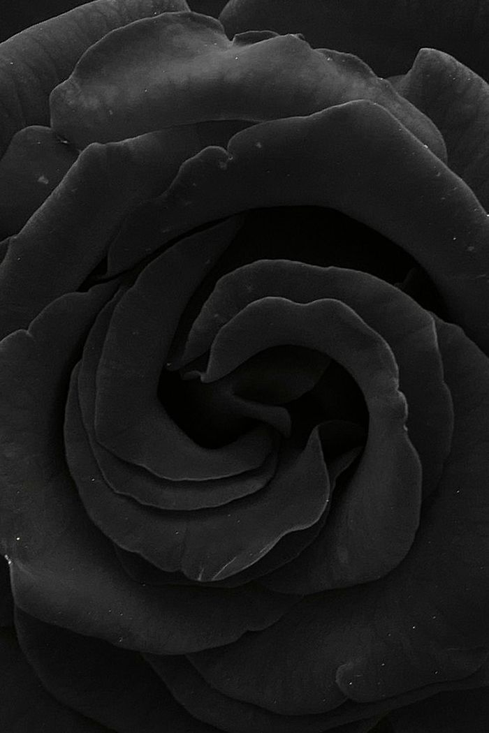 black rose wallpaper tumblr