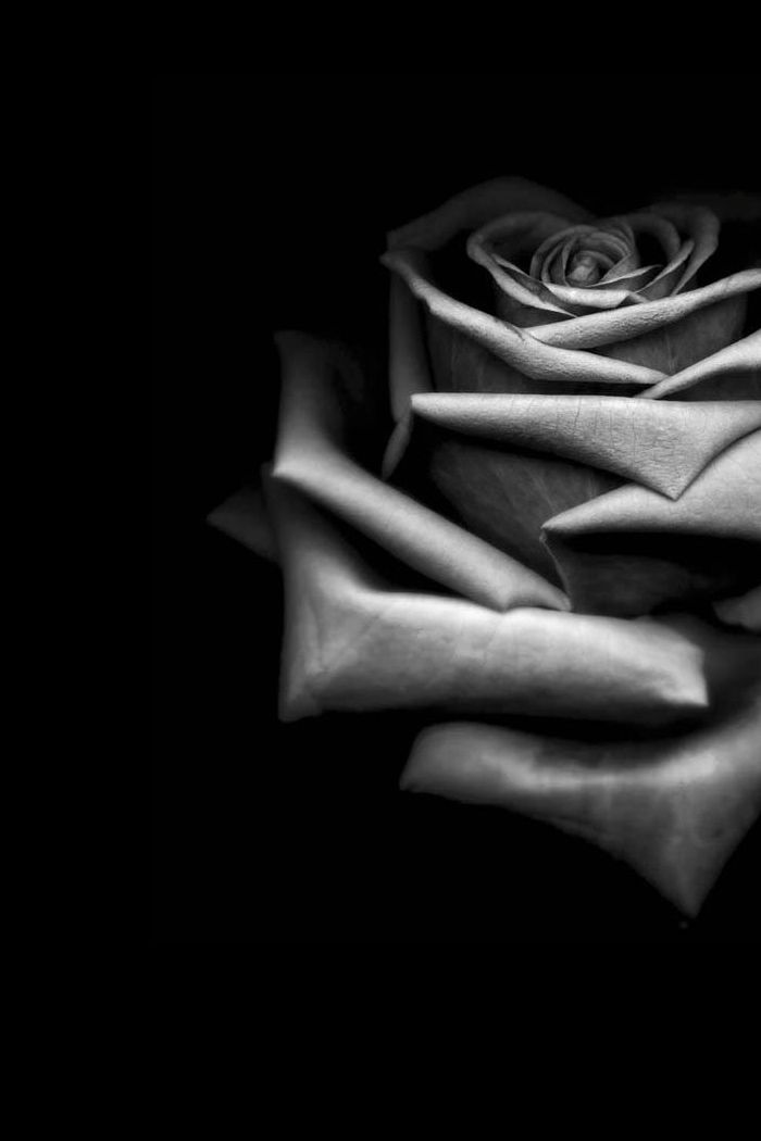wallpaper black rose flower