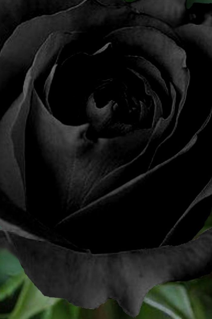 black rose wallpaper for mobile