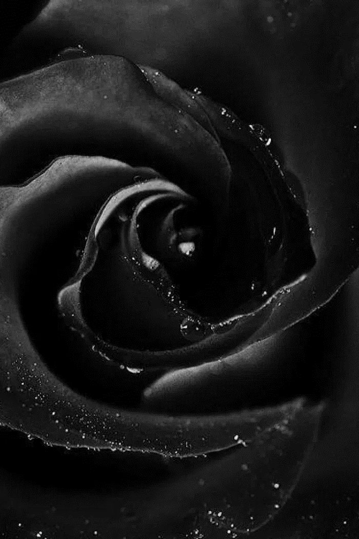 black rose iphone 6 wallpaper