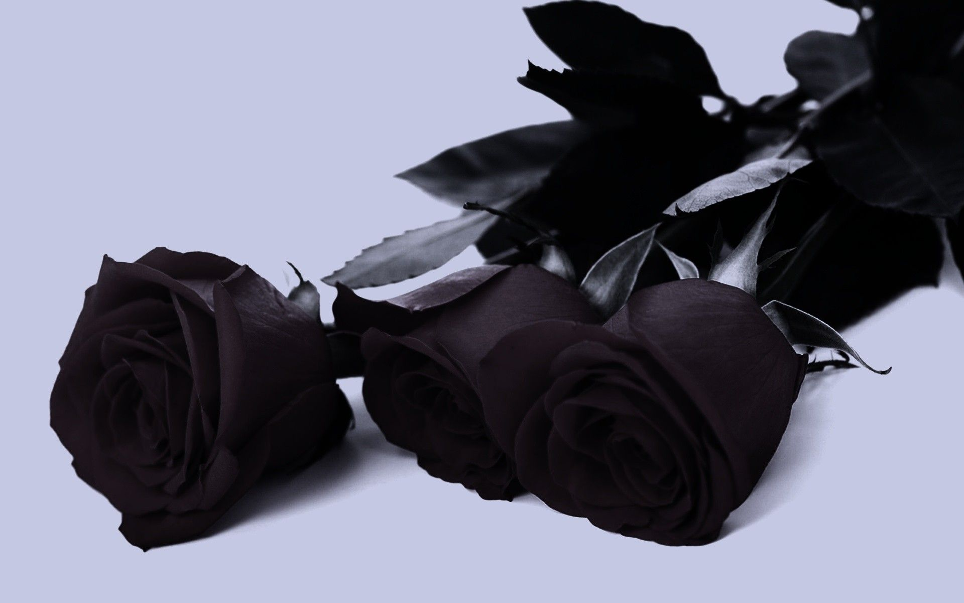 black rose full hd wallpaper