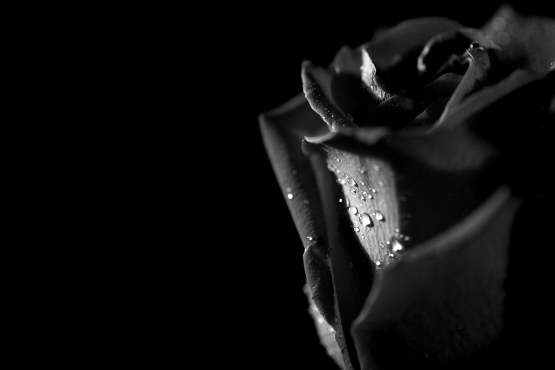 black and grey rose wallpaper