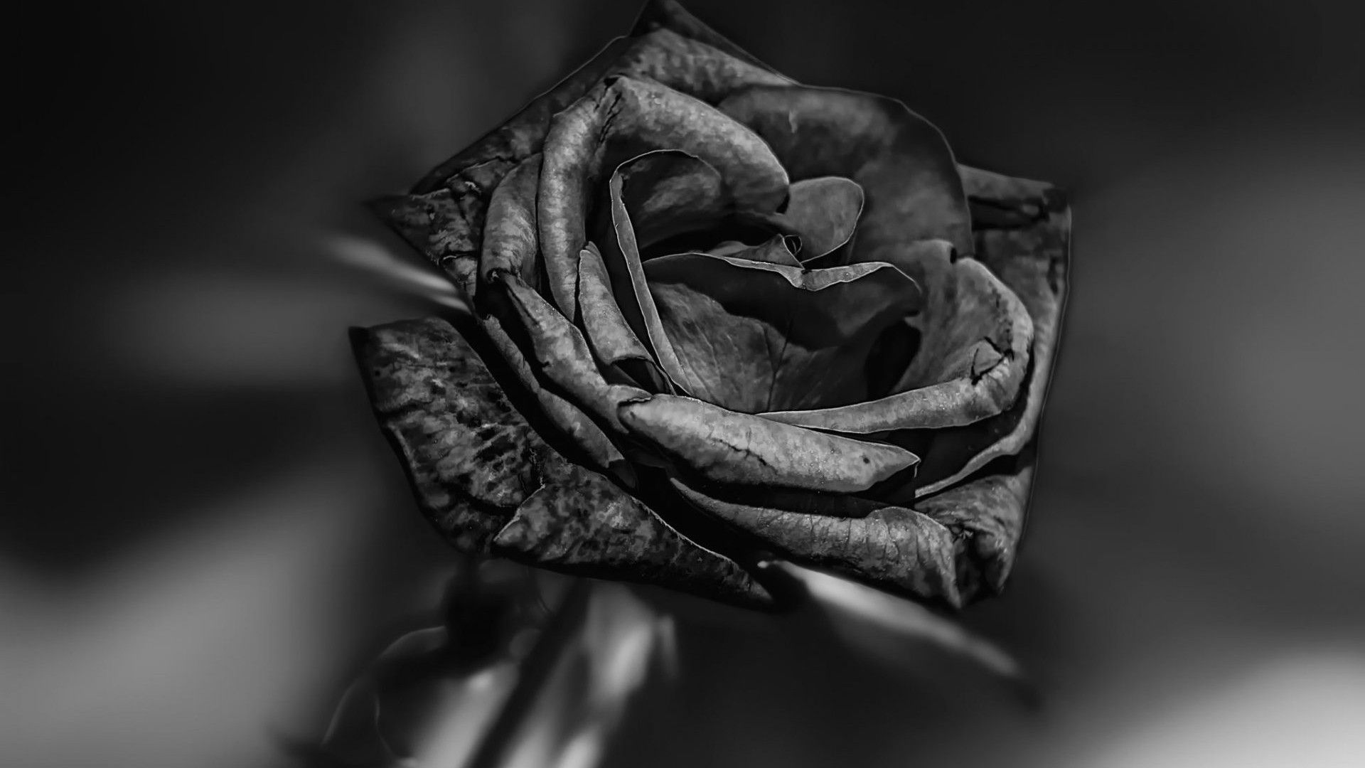 black rose hd wallpapers 1080p