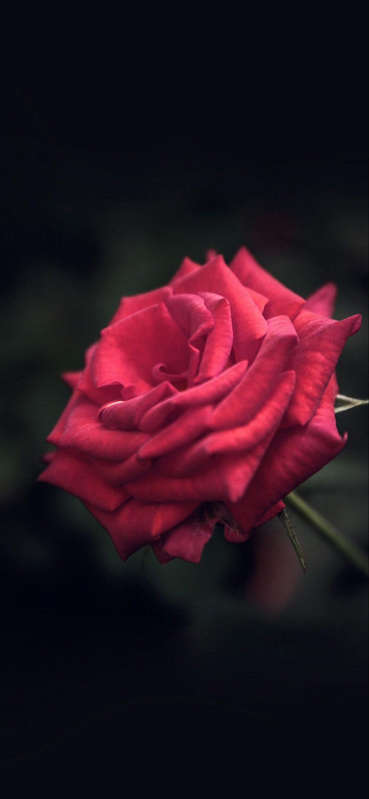 iphone 6 plus red rose
