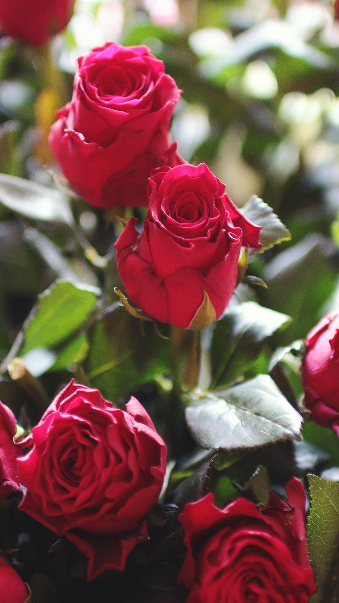 red rose phone wallpaper