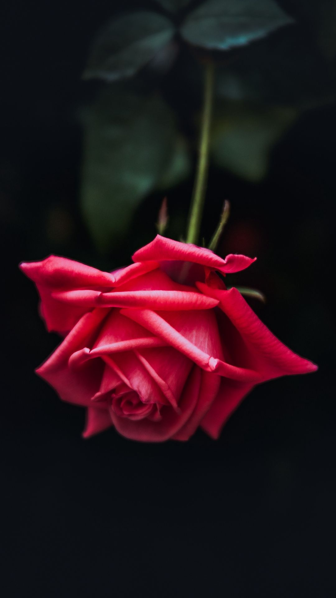 single red rose black background