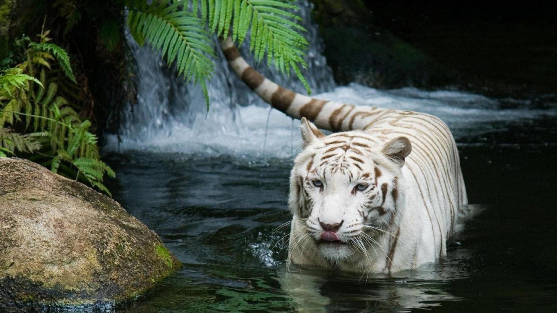 White Tiger, Wallpaper Picture