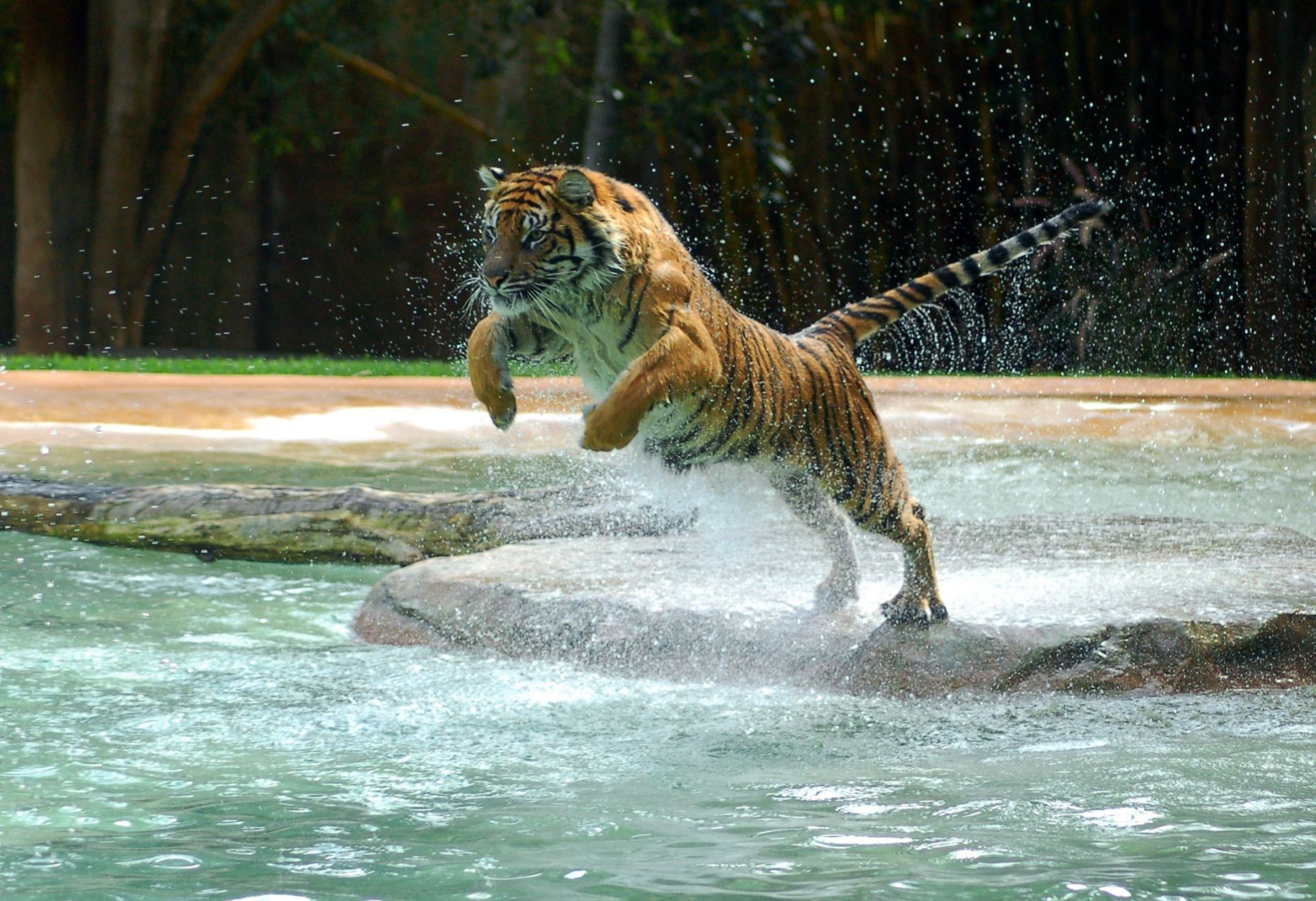Tiger,water, HD Wallpaper 1080