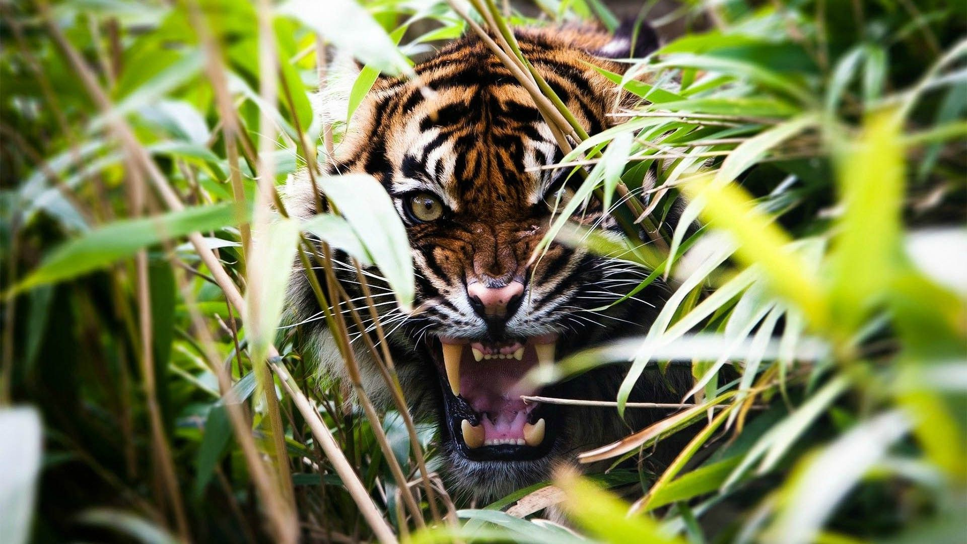 Tiger and Grass, Cool HD Wallpaper