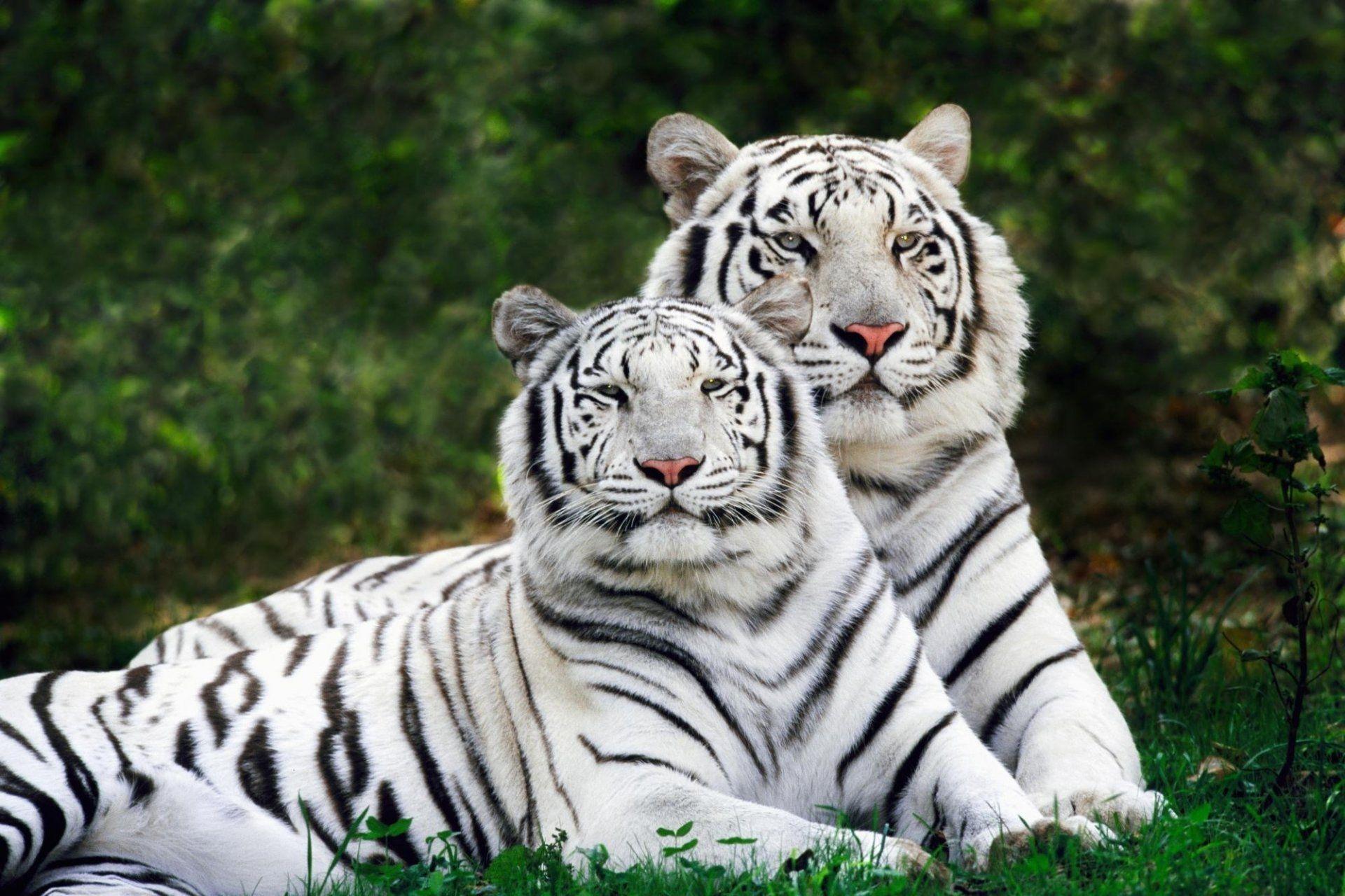 Two White Tigers, PC Wallpaper