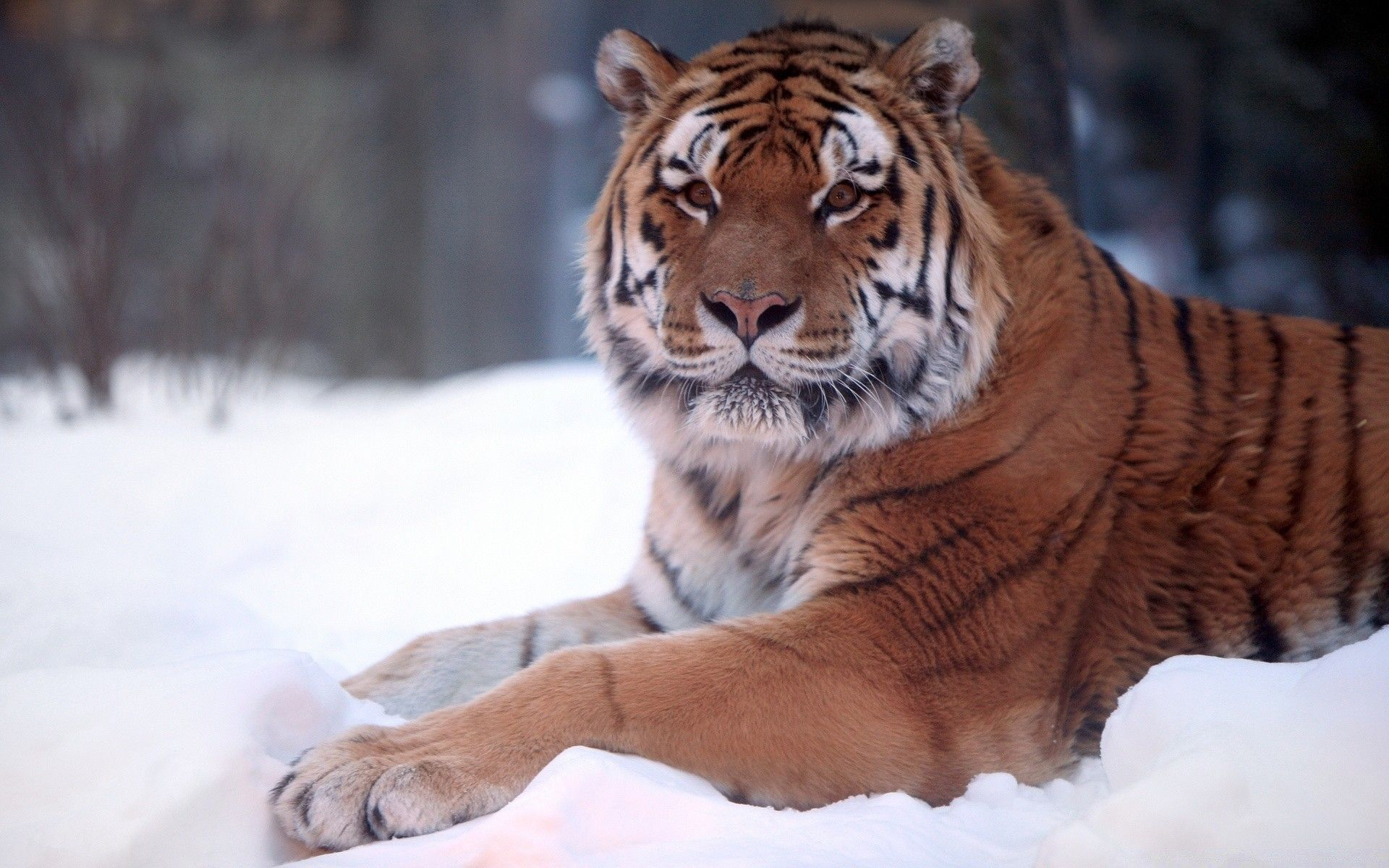 Tiger and snow, Background Wallpaper