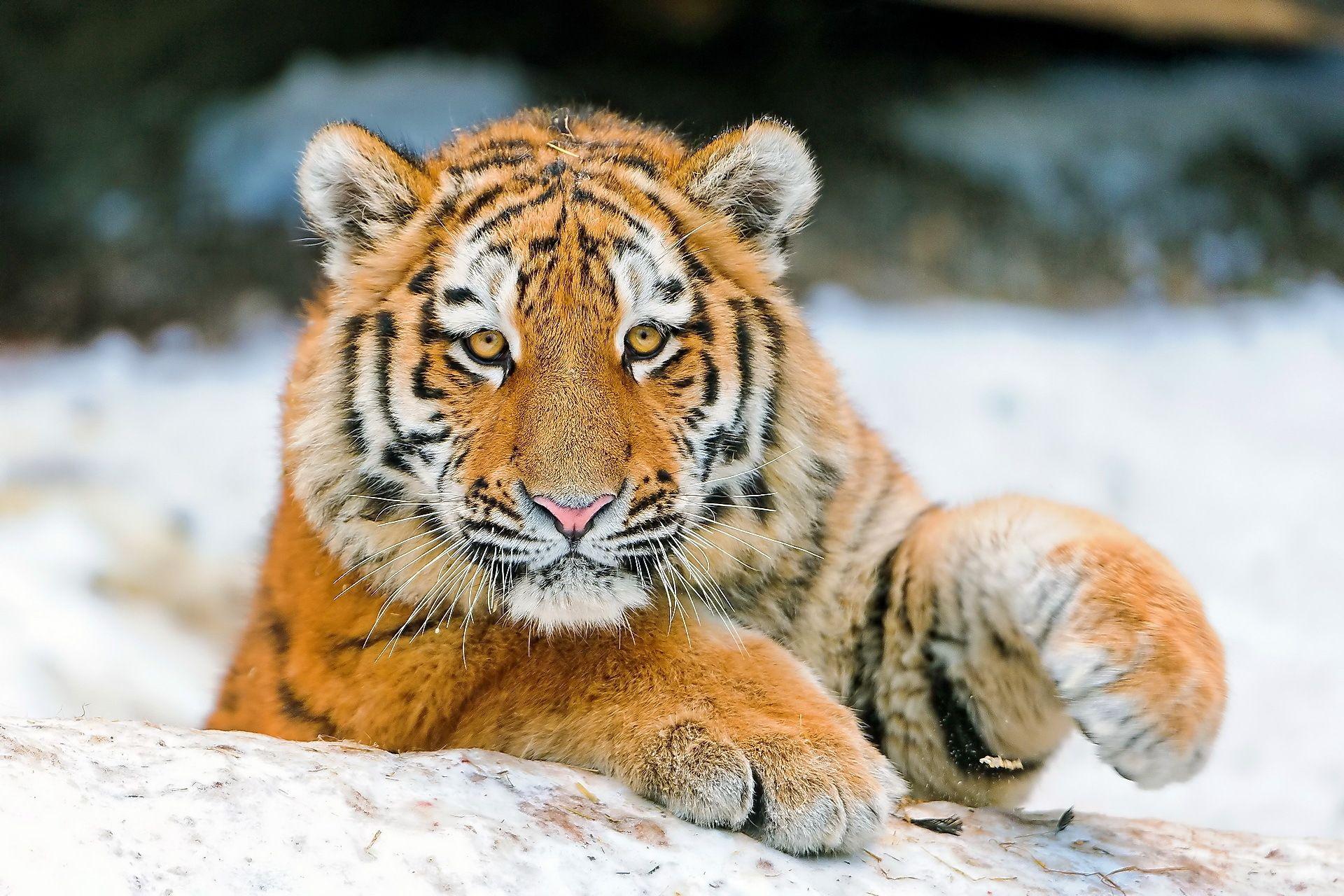 Tiger, Computer Wallpaper