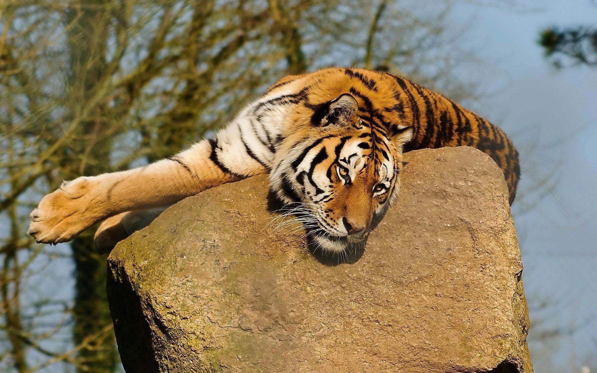 Tiger on stone, Full HD Wallpaper