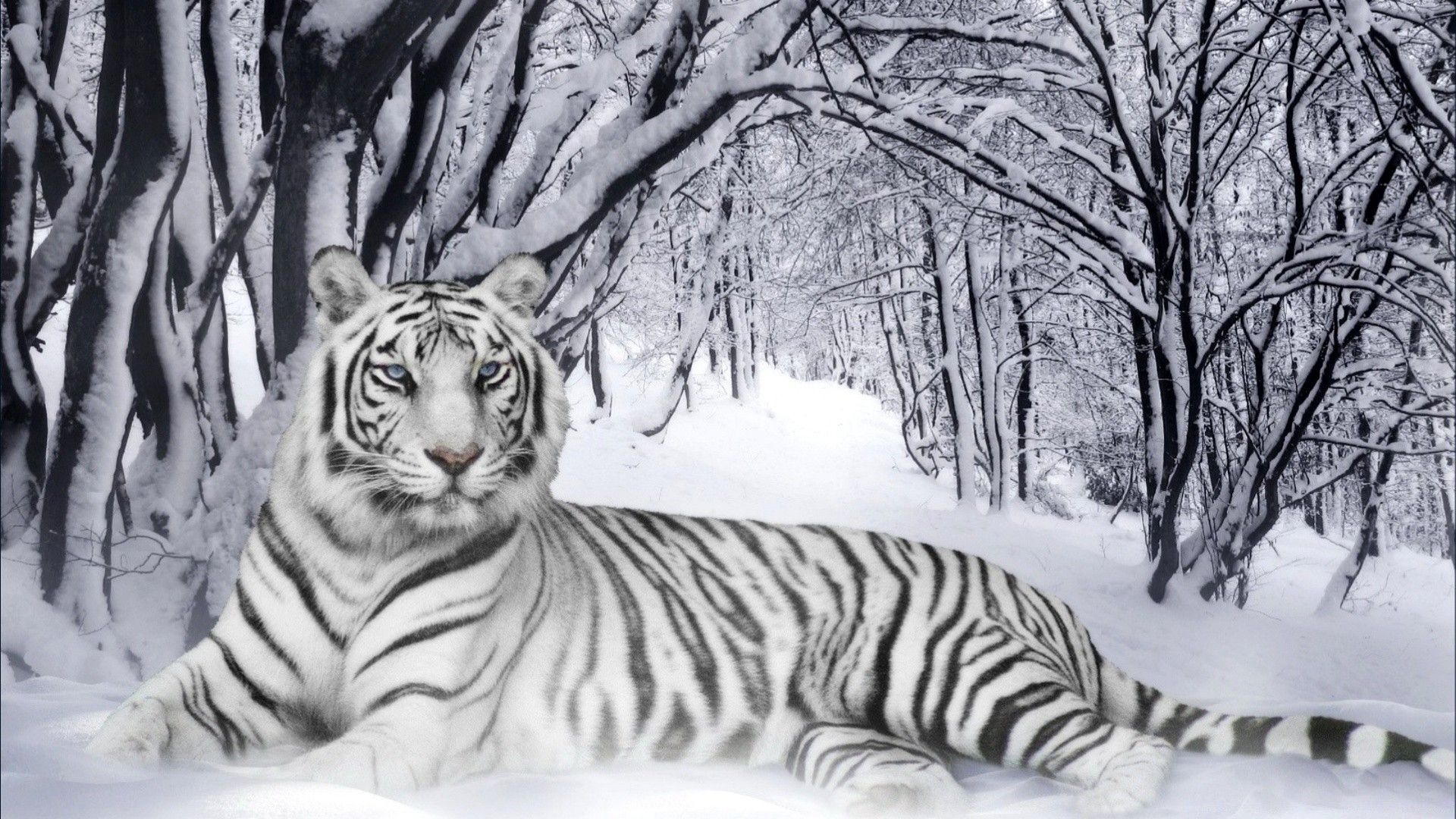 White Tiger on the snow, Free Wallpaper