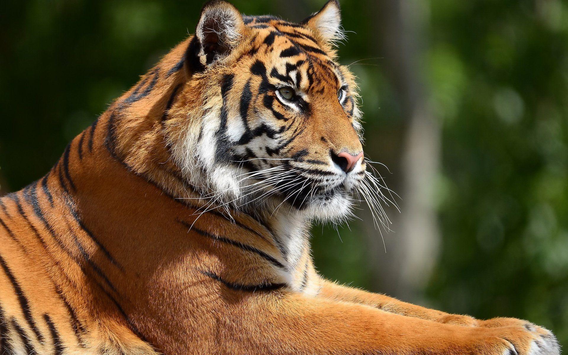 Tiger, Free Download Wallpaper